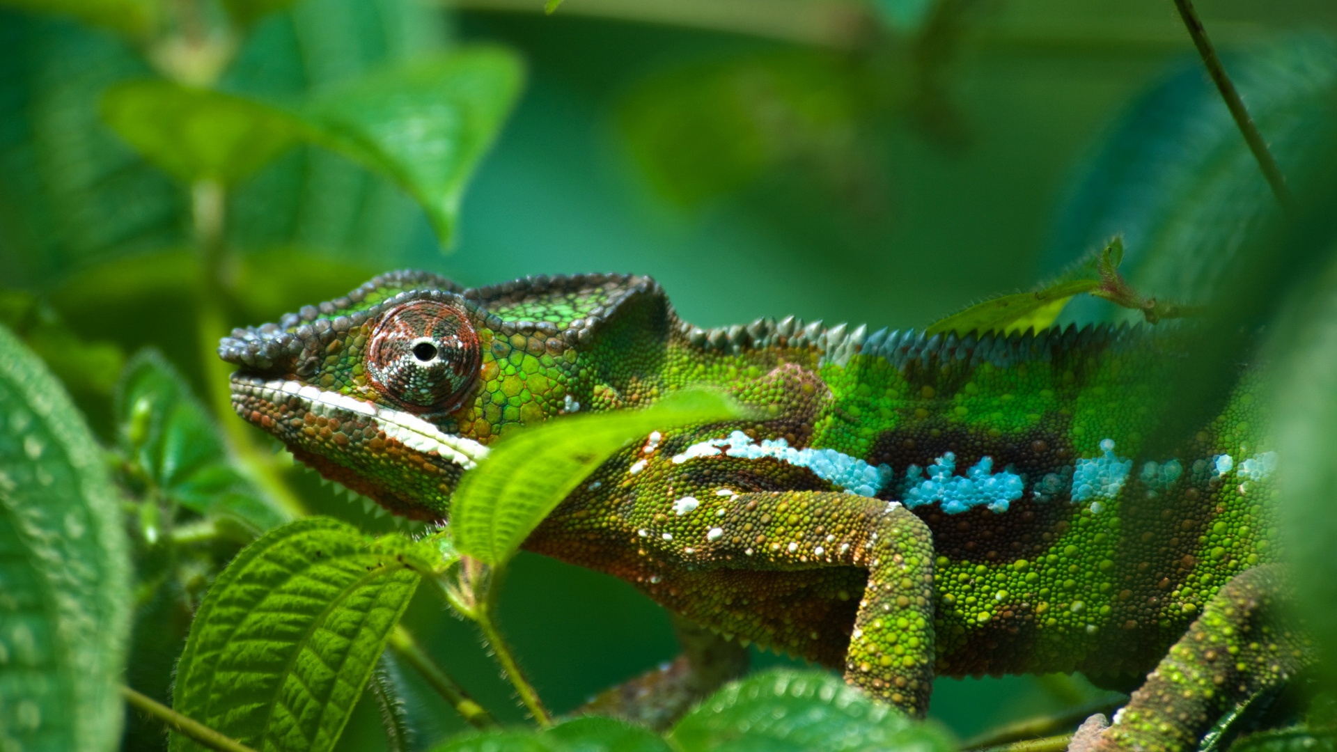 green chameleon widescreen wallpaper - photo #7