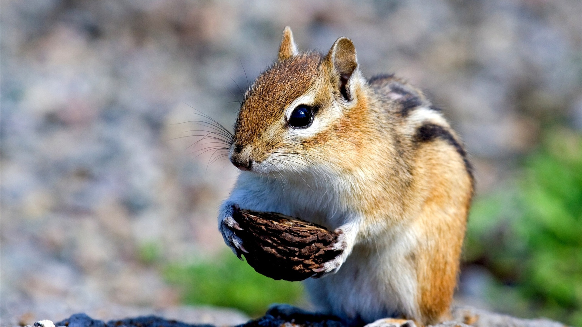 Download Wallpaper 1920x1080 Cute little squirrel Full HD ...