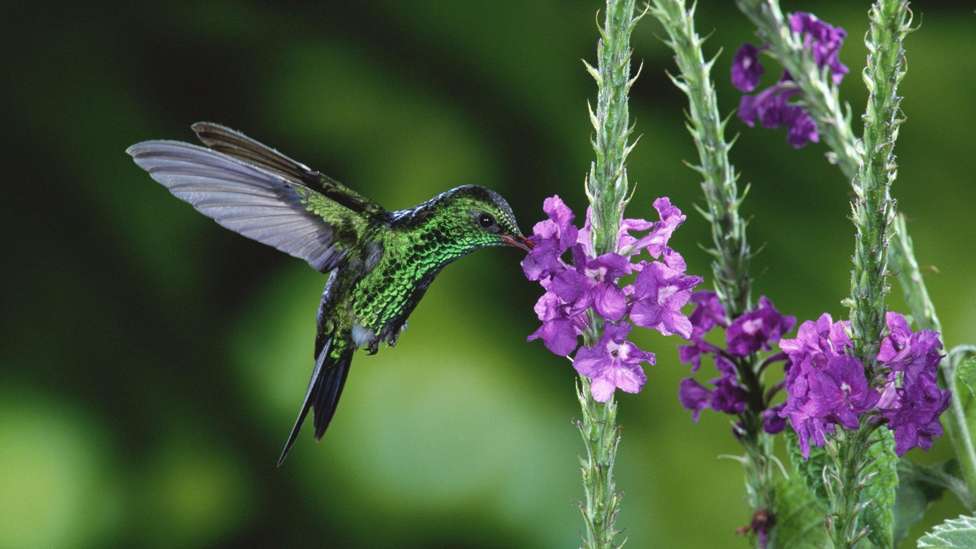 ハチドリの画像 p1_33