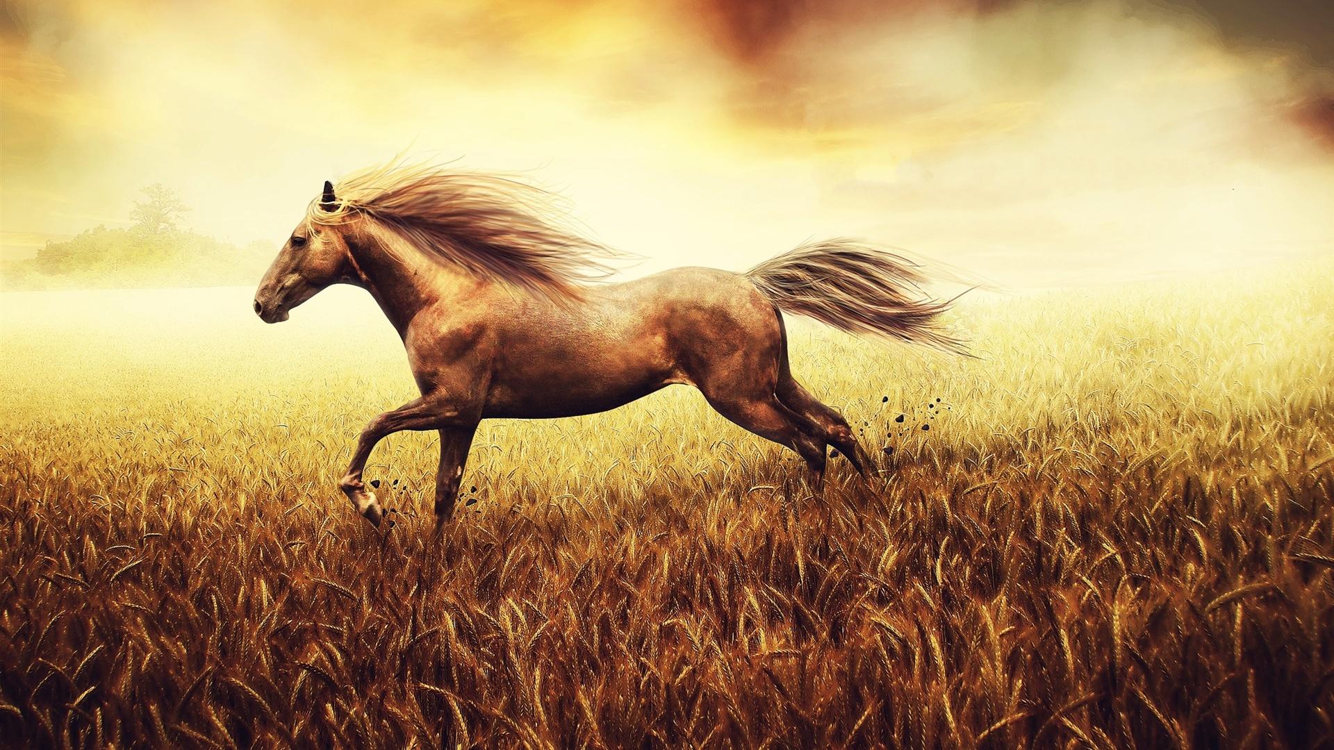 O cavalo é executado em um milharal Papéis de Parede ...