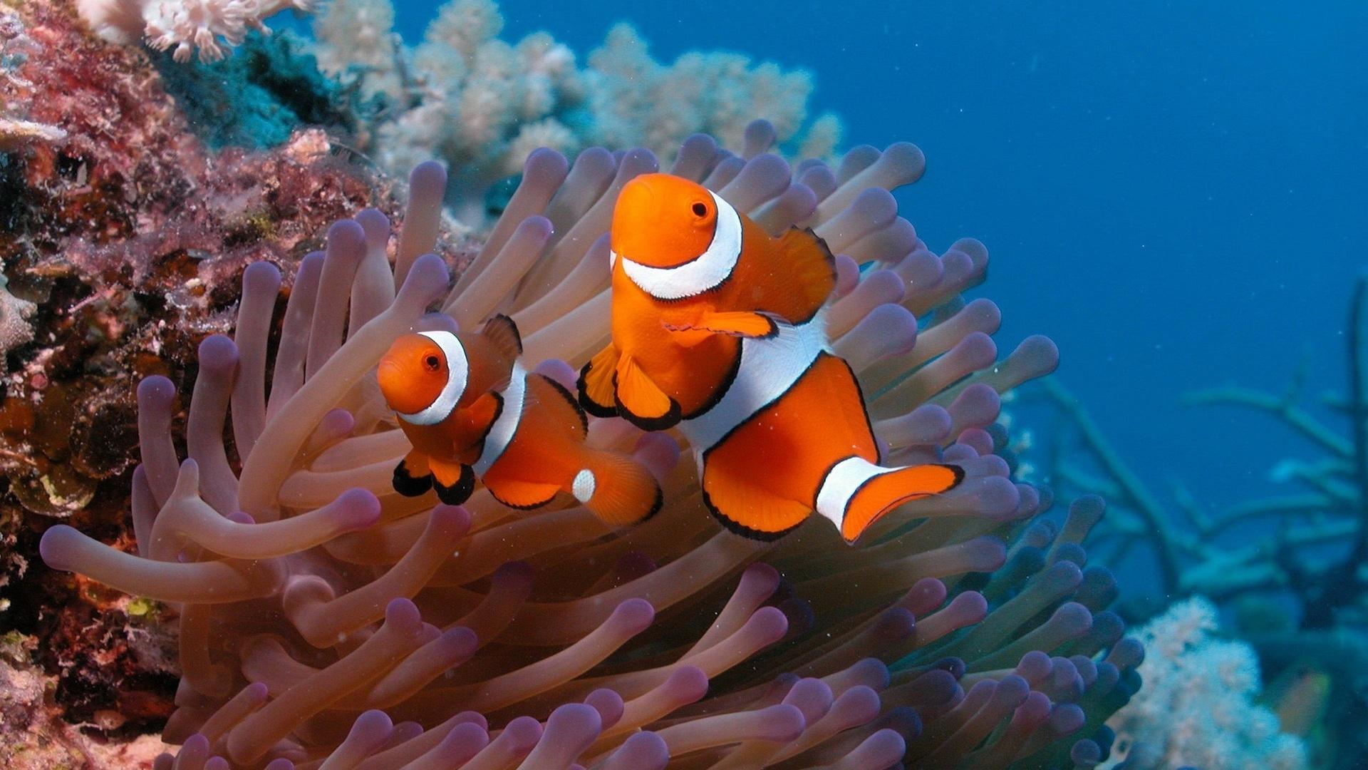 Wallpaper Underwater world, beautiful clown fish 1920x1200 ...