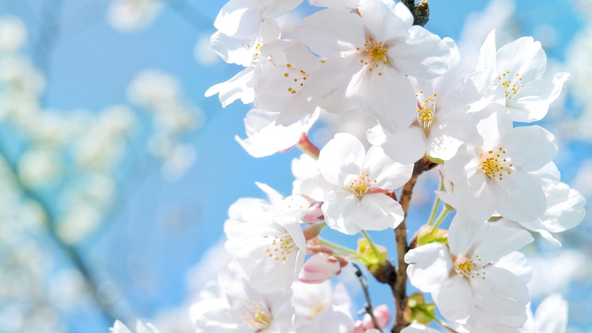 Fonds d'écran Blanches fleurs de cerisier au printemps 1920x1080 Full HD image