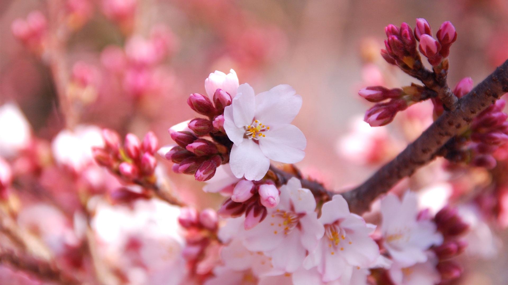 Fondos De Pantalla Flores Rosadas Crisantemo Fondo: Fondos De Pantalla Flores Cerca De La Estación De Los
