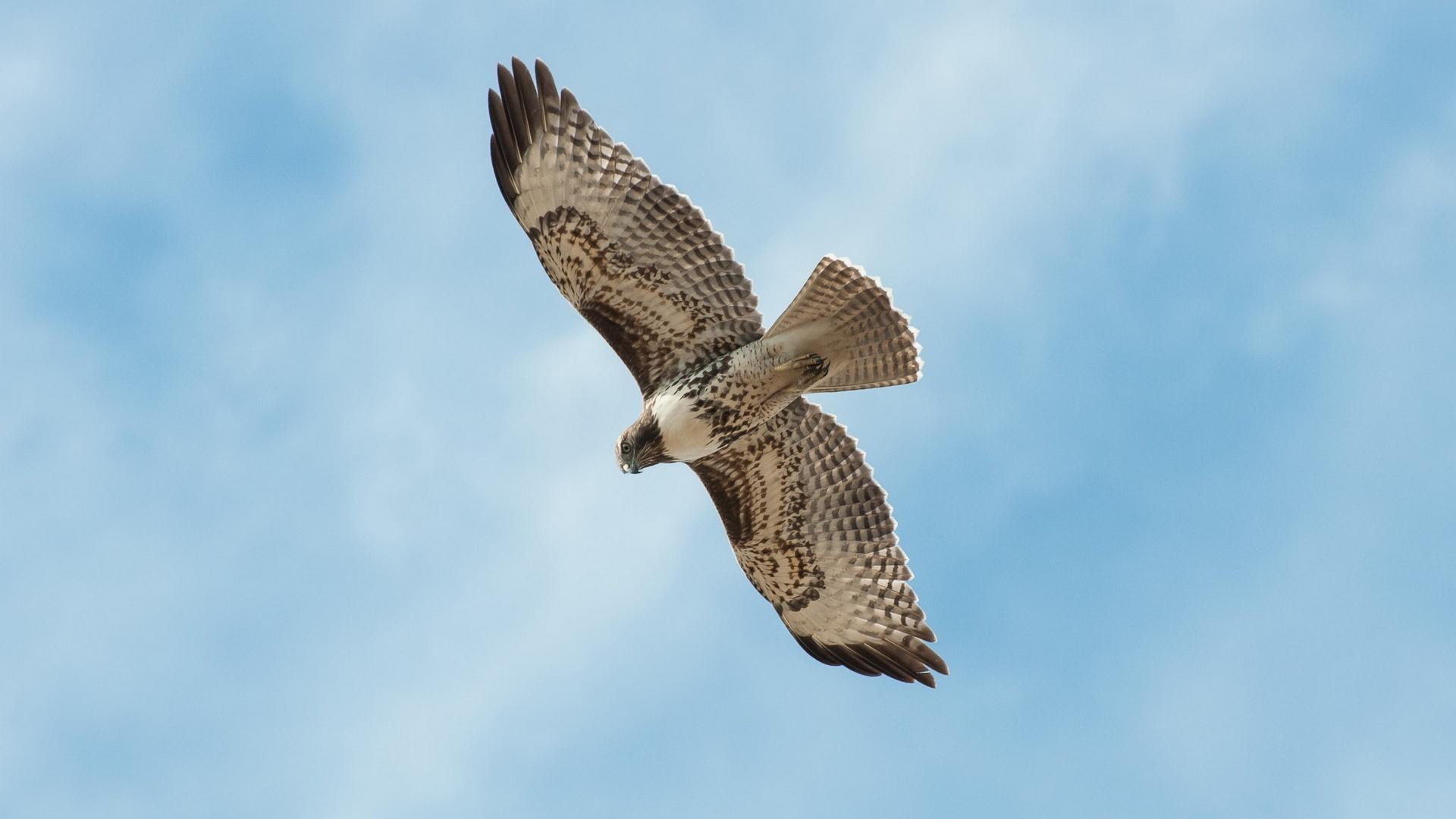 Un oiseau qui vole dans le ciel bleu fonds d 39 cran 1920x1080 full hd fonds d 39 cran de - Jeux d oiseau qui vole ...