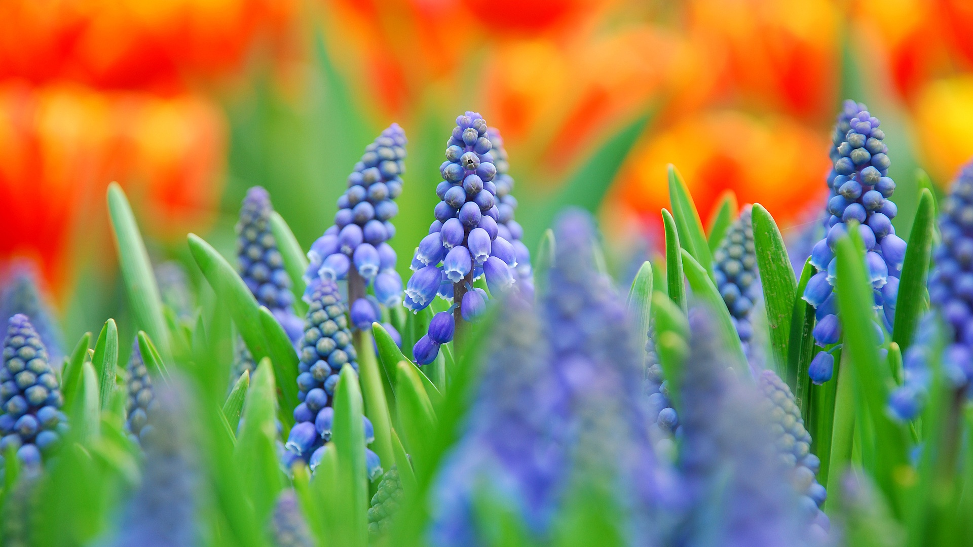 Wallpaper Muscari, blue flowers, blurred photography ...