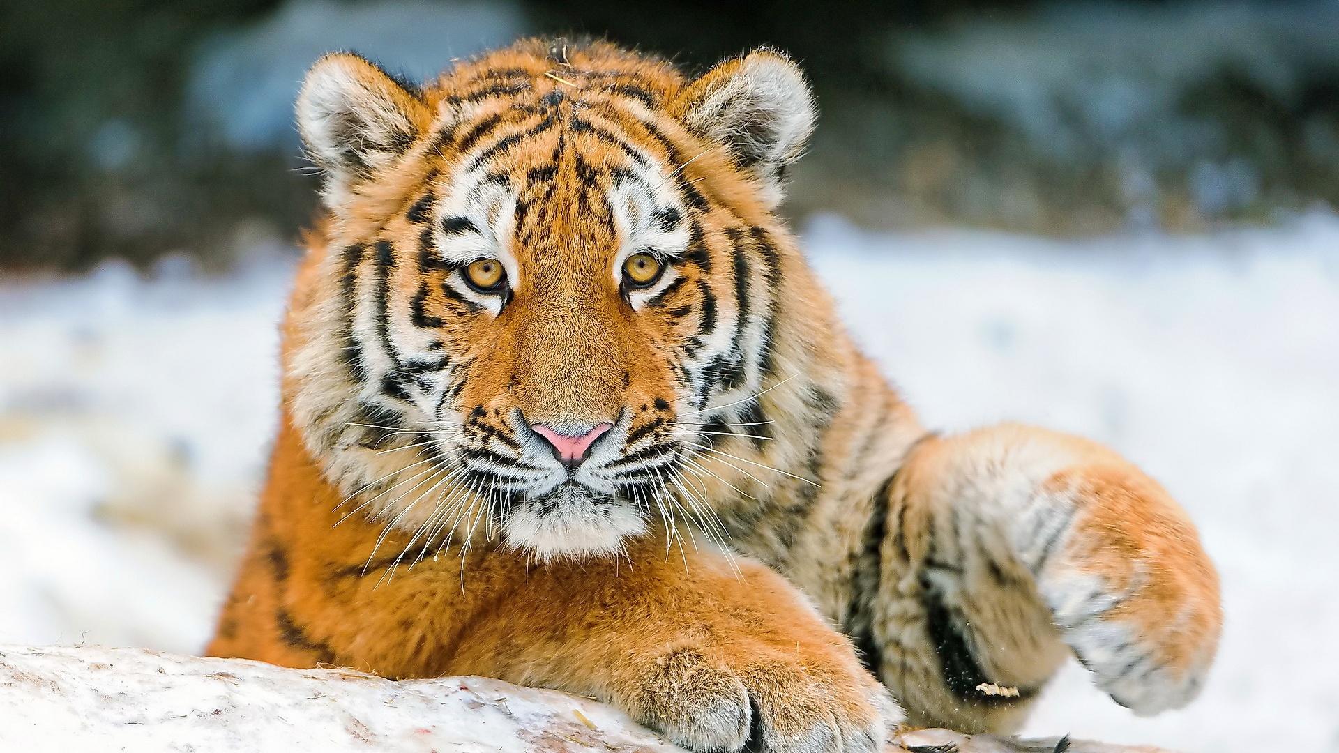 Tiger-Gesichts-Wallpaper