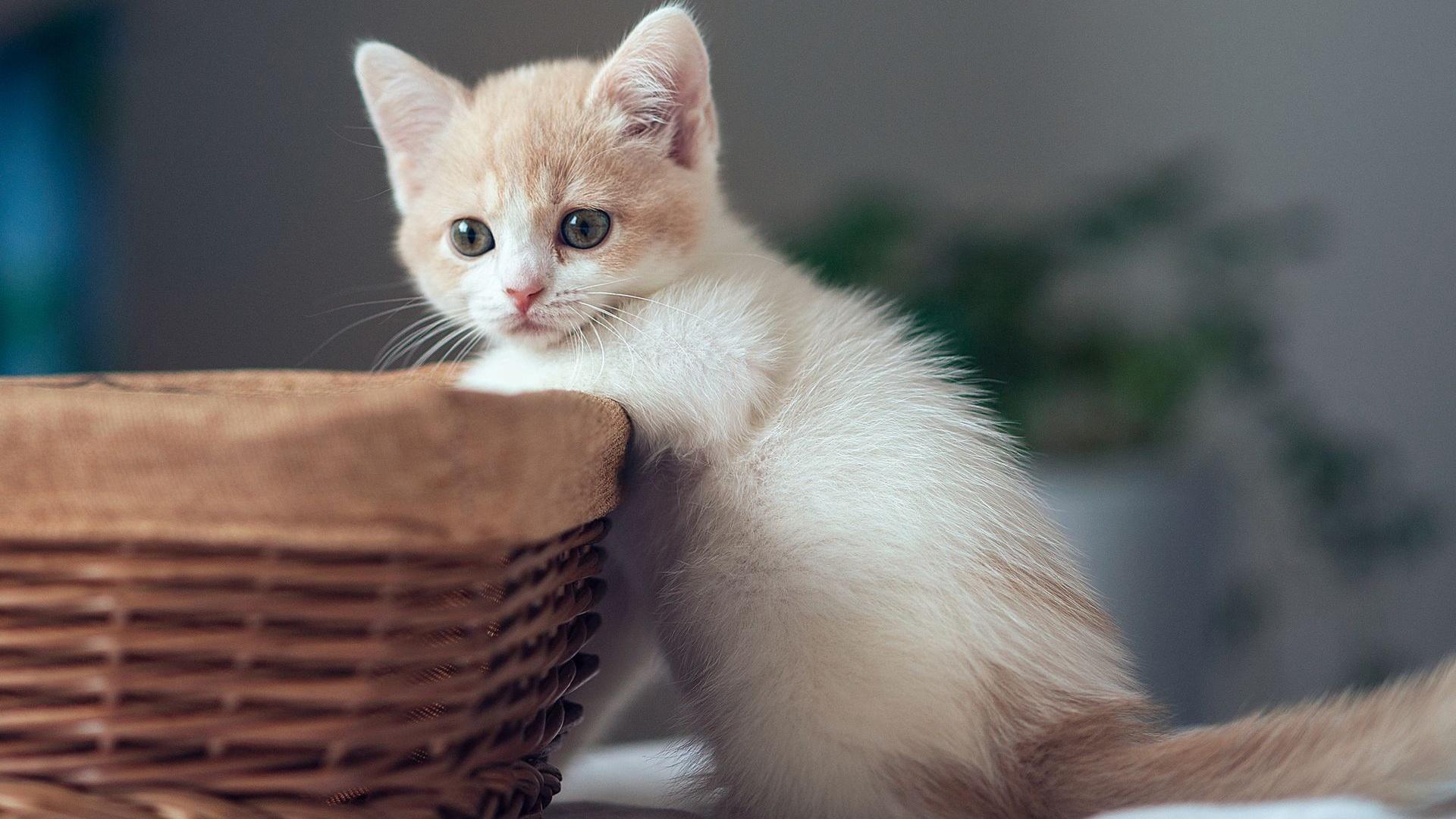 ダウンロード壁紙 1920x1080 バスケットが付いているかわいい子猫 フルHD HDのデスクトップの背景 Hd Wallpaper 1920 X 1080 Kittens