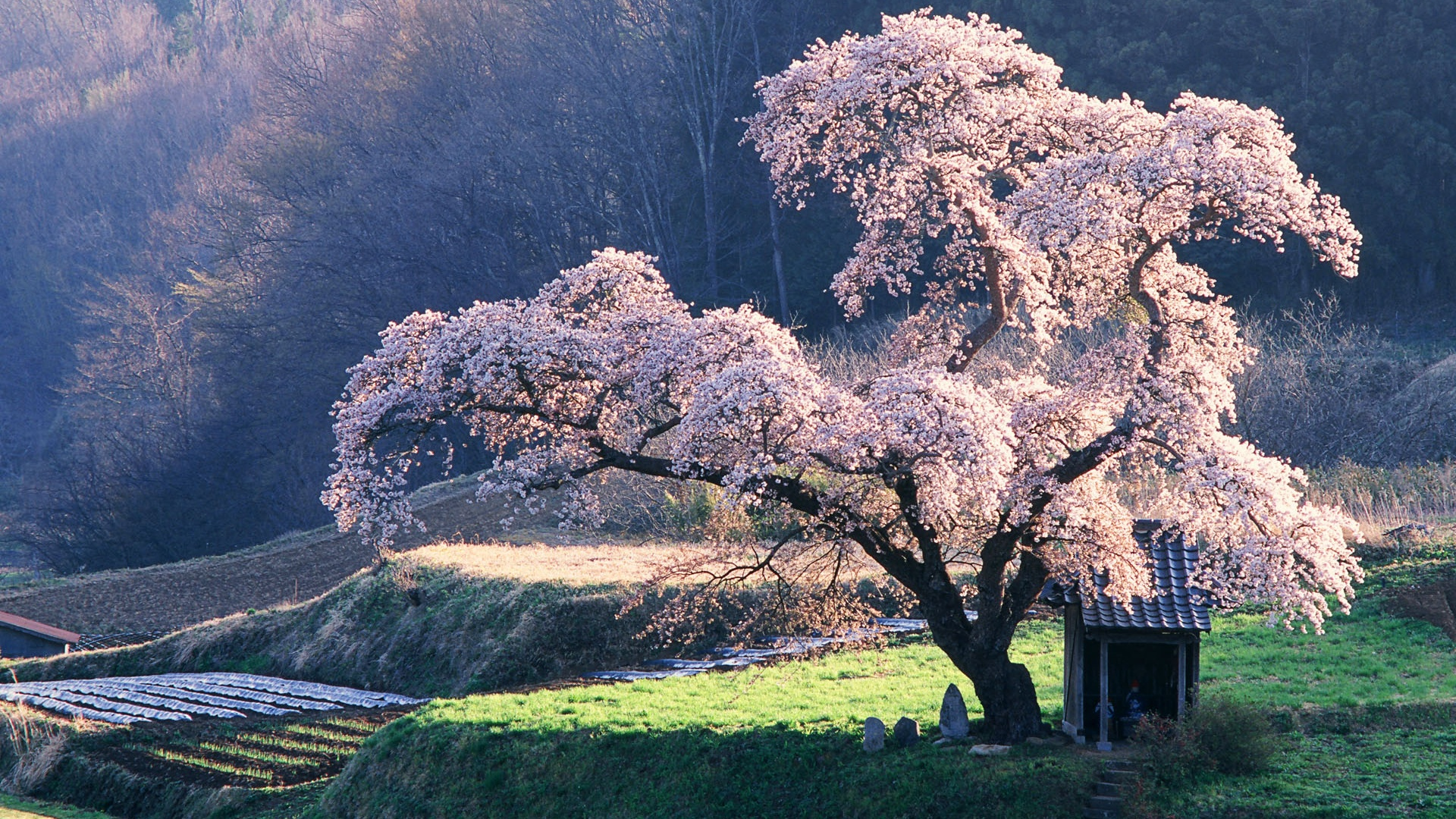 cherry blossom 1920x1200 HD Picture