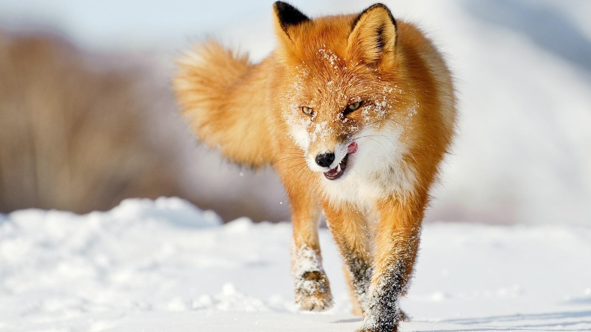 10 Top Cute Wild Animal Wallpaper Full Hd 1080p For Pc: Ein Fuchs Im Winter Schnee 1920x1200 HD Hintergrundbilder