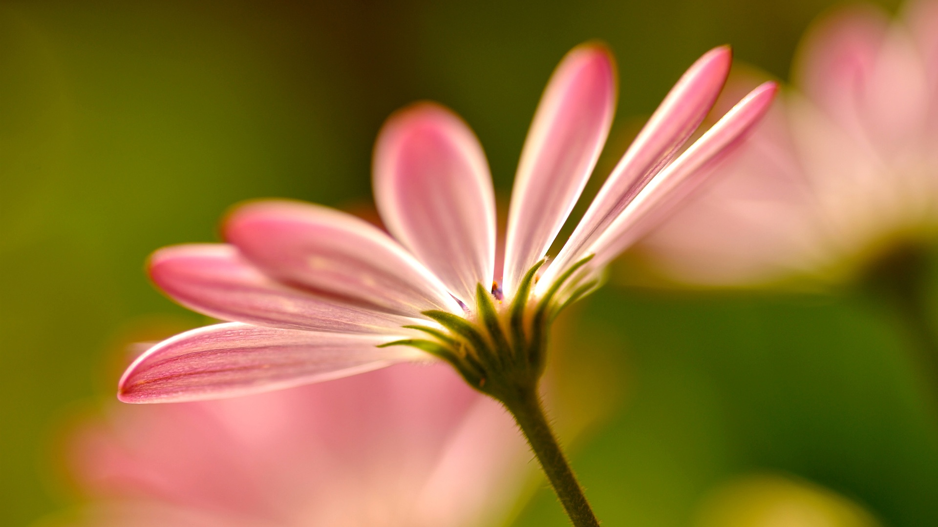 Pink flower petals macro photography Wallpaper | 1920x1080 ...