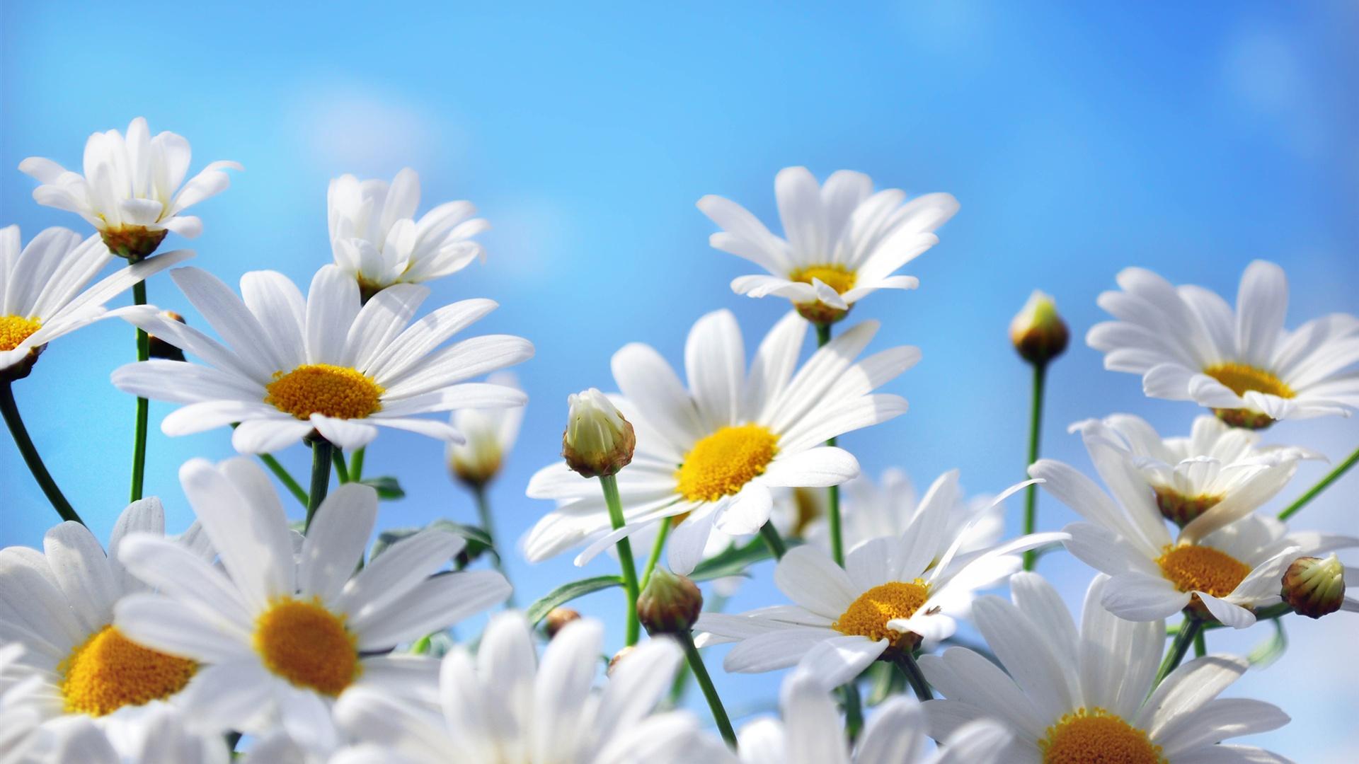 自然の花の写真撮影 ヒナギク 花弁 青空 Pc壁紙 オトナ女子
