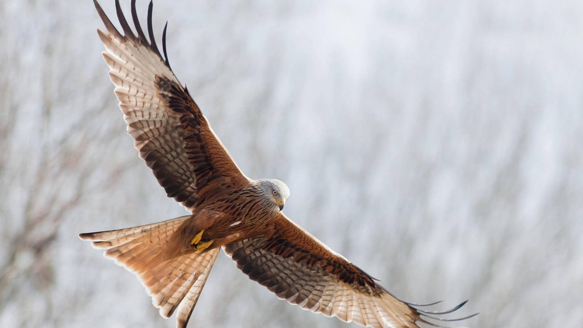 Freedom Birds Flying Hd Wallpaper Bird: Adler Offenen Flügeln Freiheit Fliegen 1920x1200 HD