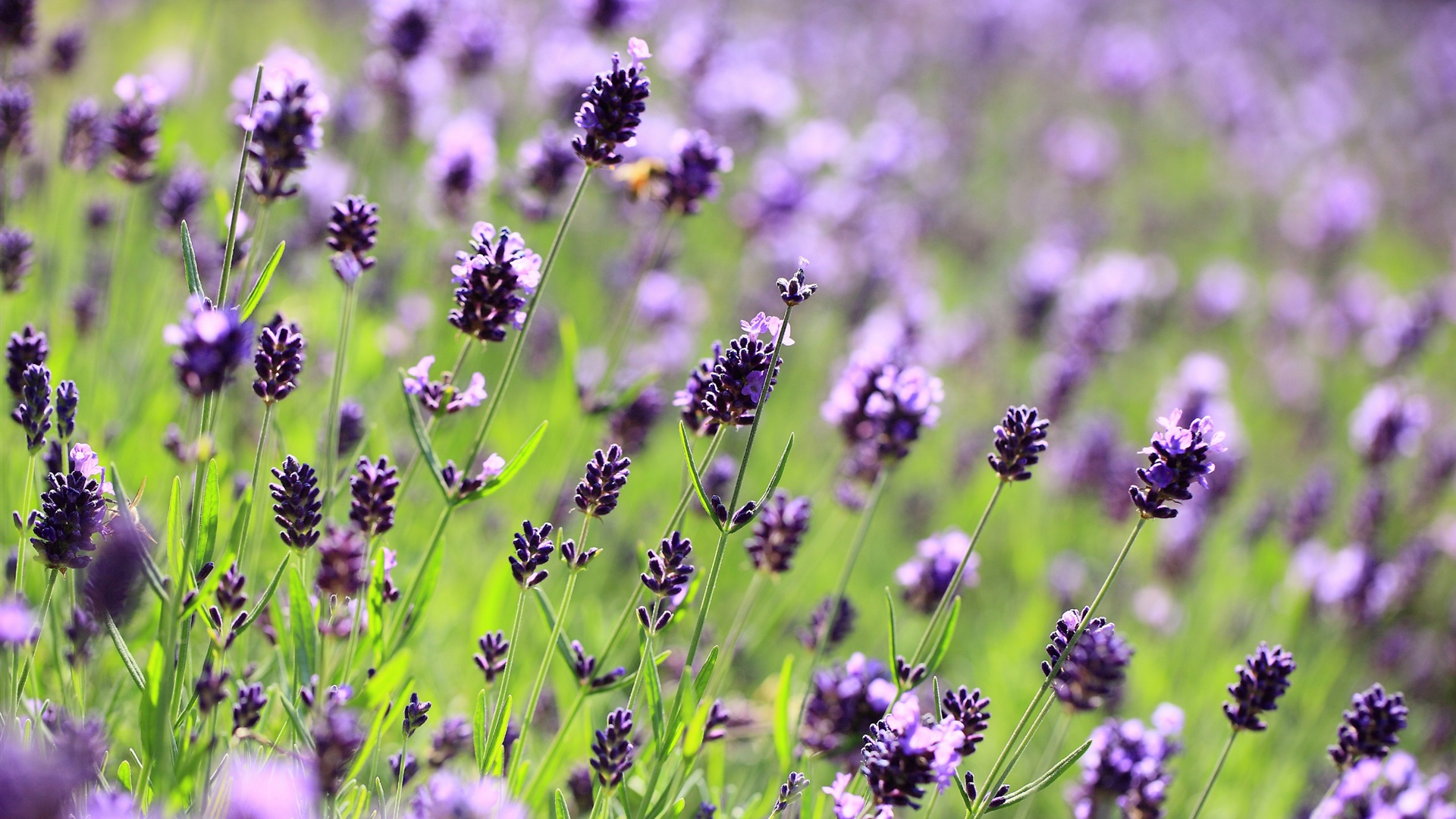 lavender flowers wallpapers 2560x1440 - photo #5