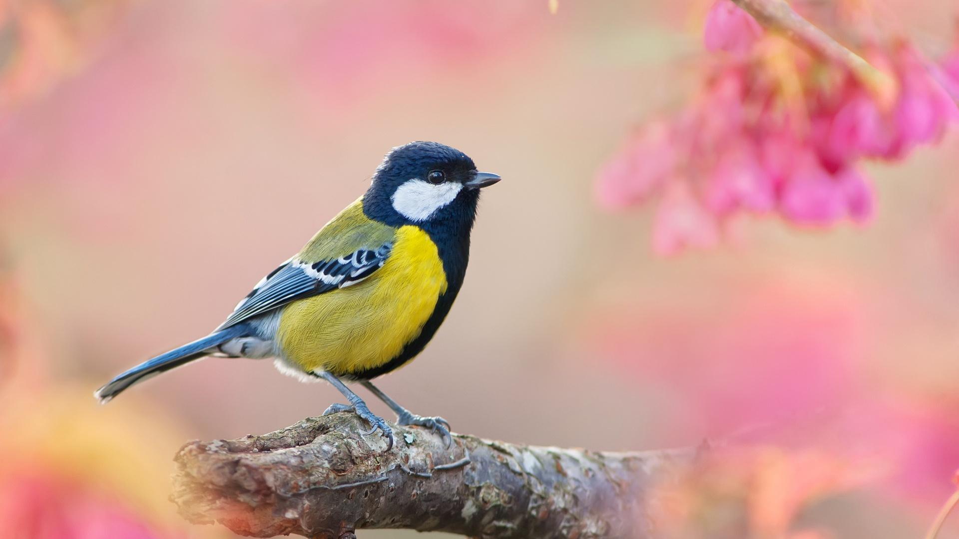 Fonds D Ecran Oiseaux Au Printemps Arriere Plan Flou Rose