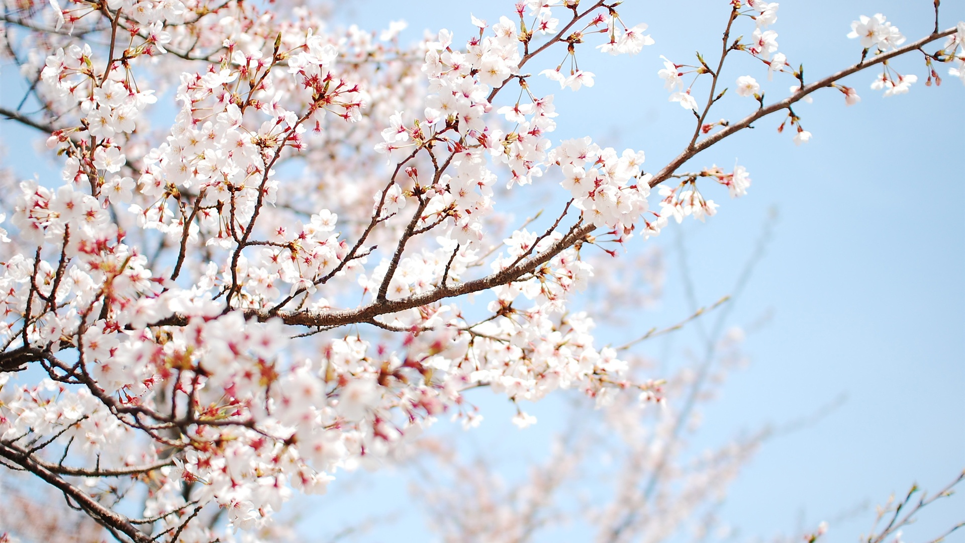 Cherry blossoms international dating site