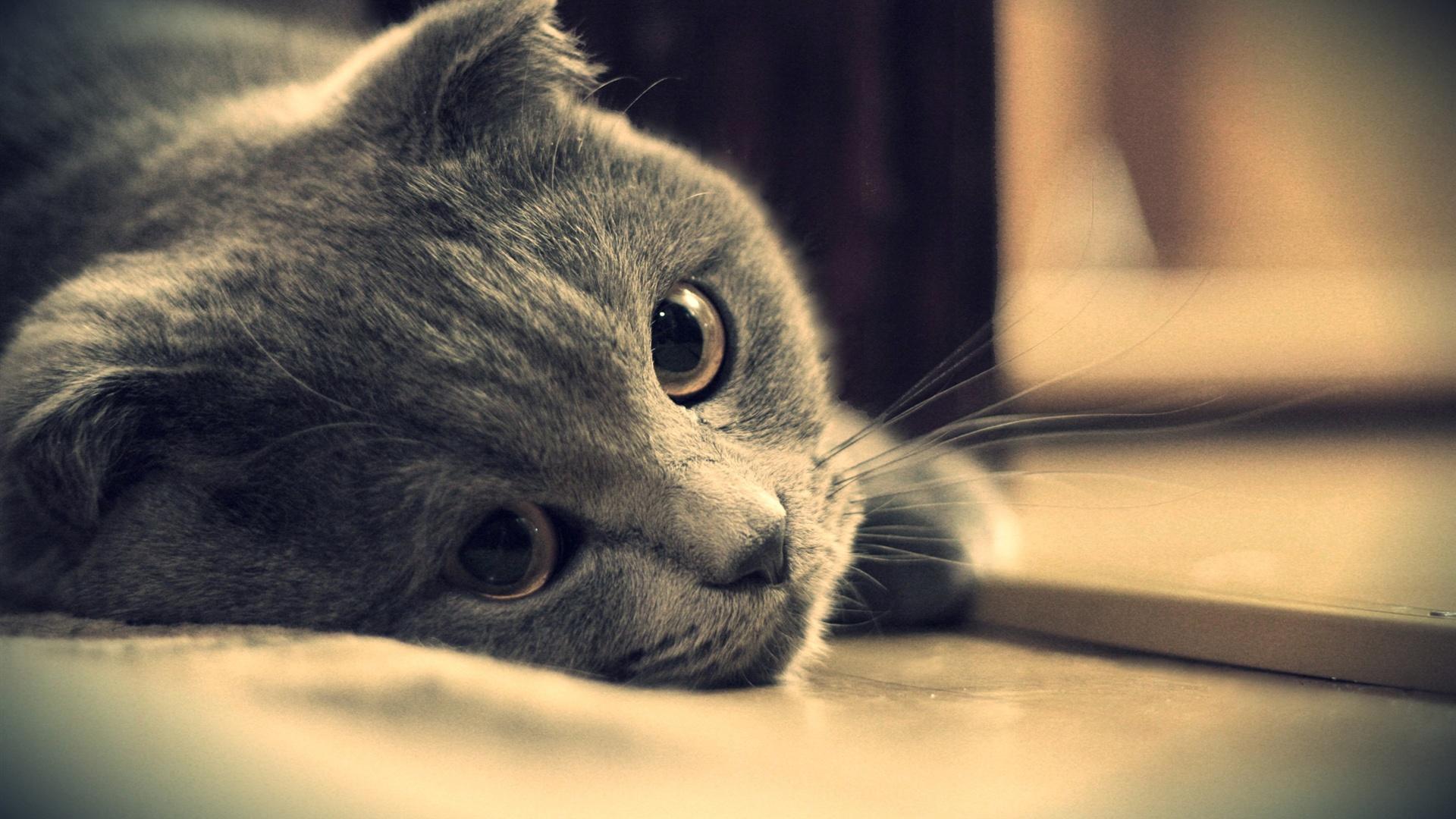 壁纸 灰色猫的眼睛特写 2560x1600 HD 高清壁纸, 图片, 照片 Hd Wallpaper 1920 X 1080 Kittens