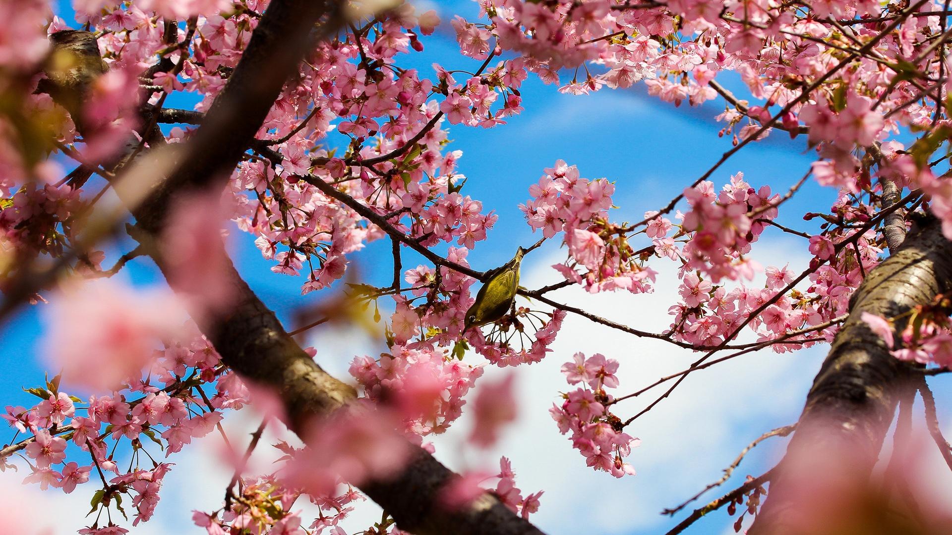 Fonds D Ecran Tokyo Au Japon Les Cerisiers Du Parc Fleurs Roses