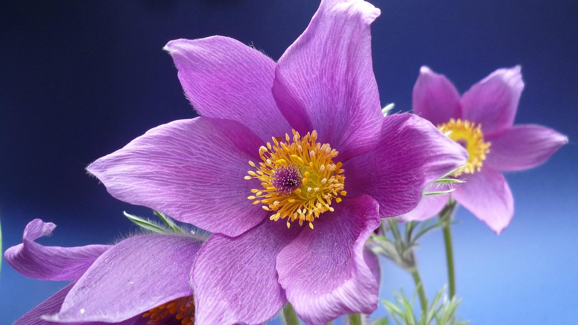 Purple anemone flowers macro Wallpaper