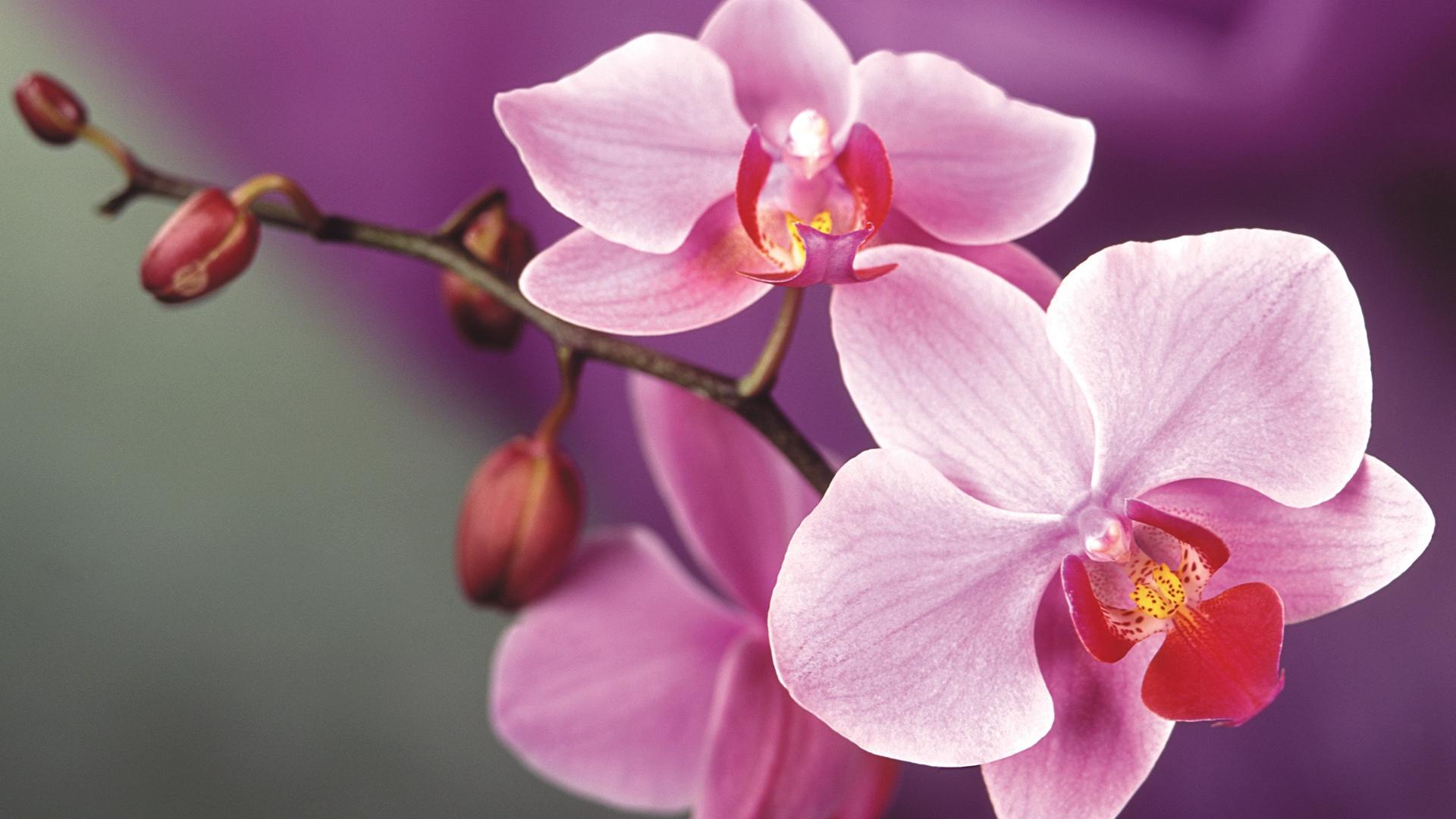 Rosa Orchidee Bluht 1920x1440 Hd Hintergrundbilder Hd Bild