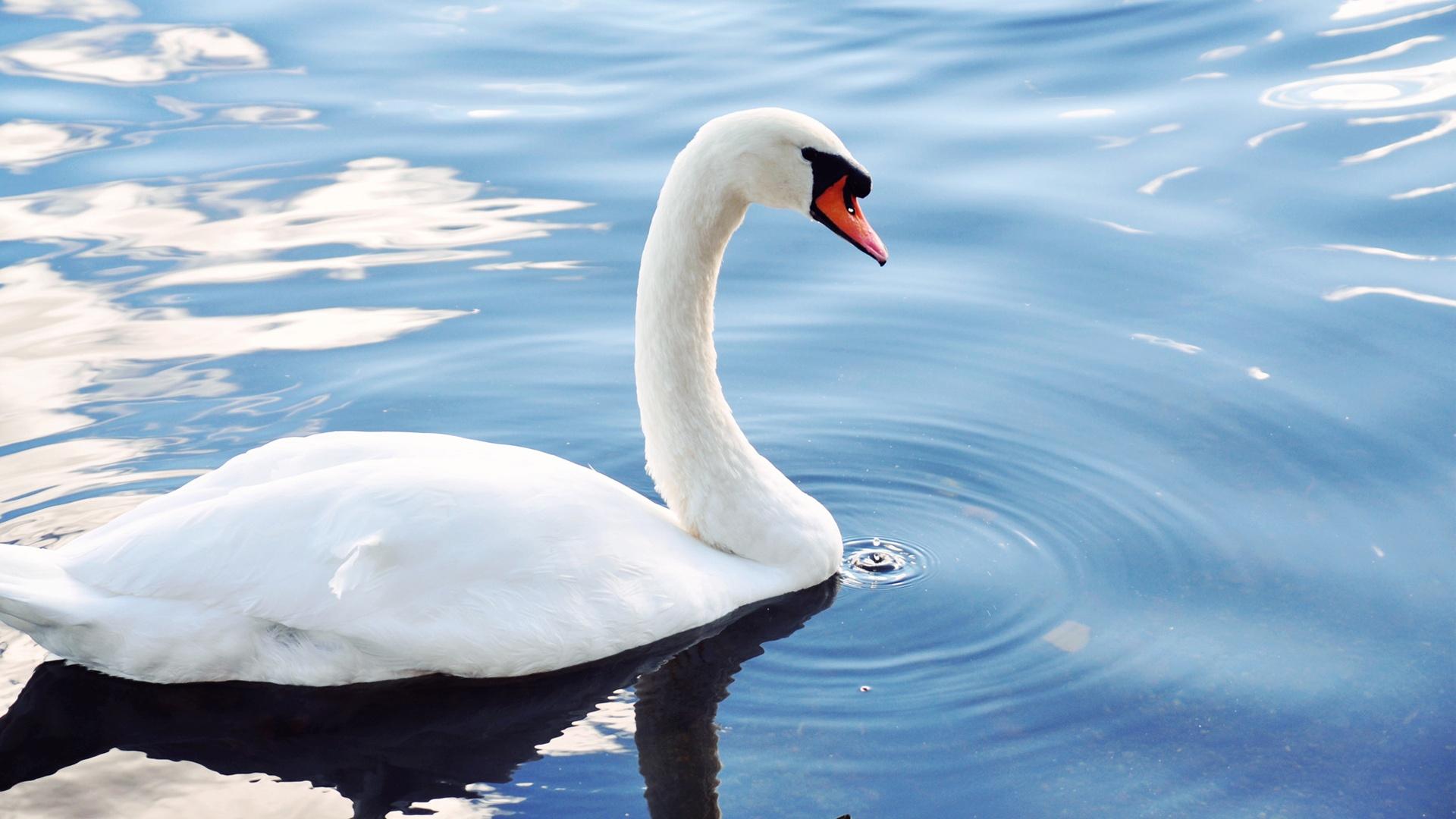Лебедь в озере загрузить