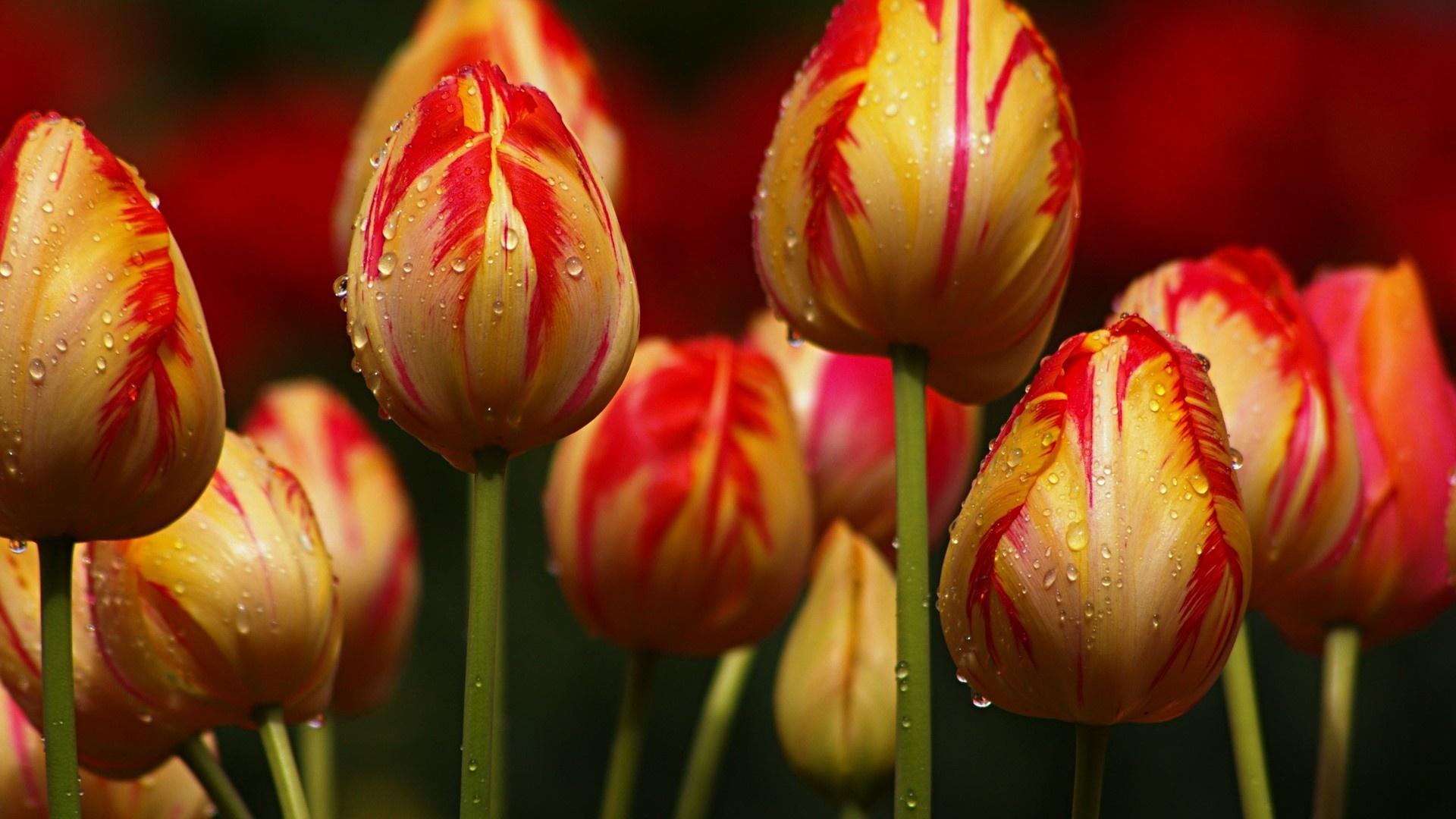 Fondos De Pantalla 1440x900 Tulipas Pascua Fondo De Color: Fondos De Pantalla Amarillo Con Rayas Rojas Flores De Los