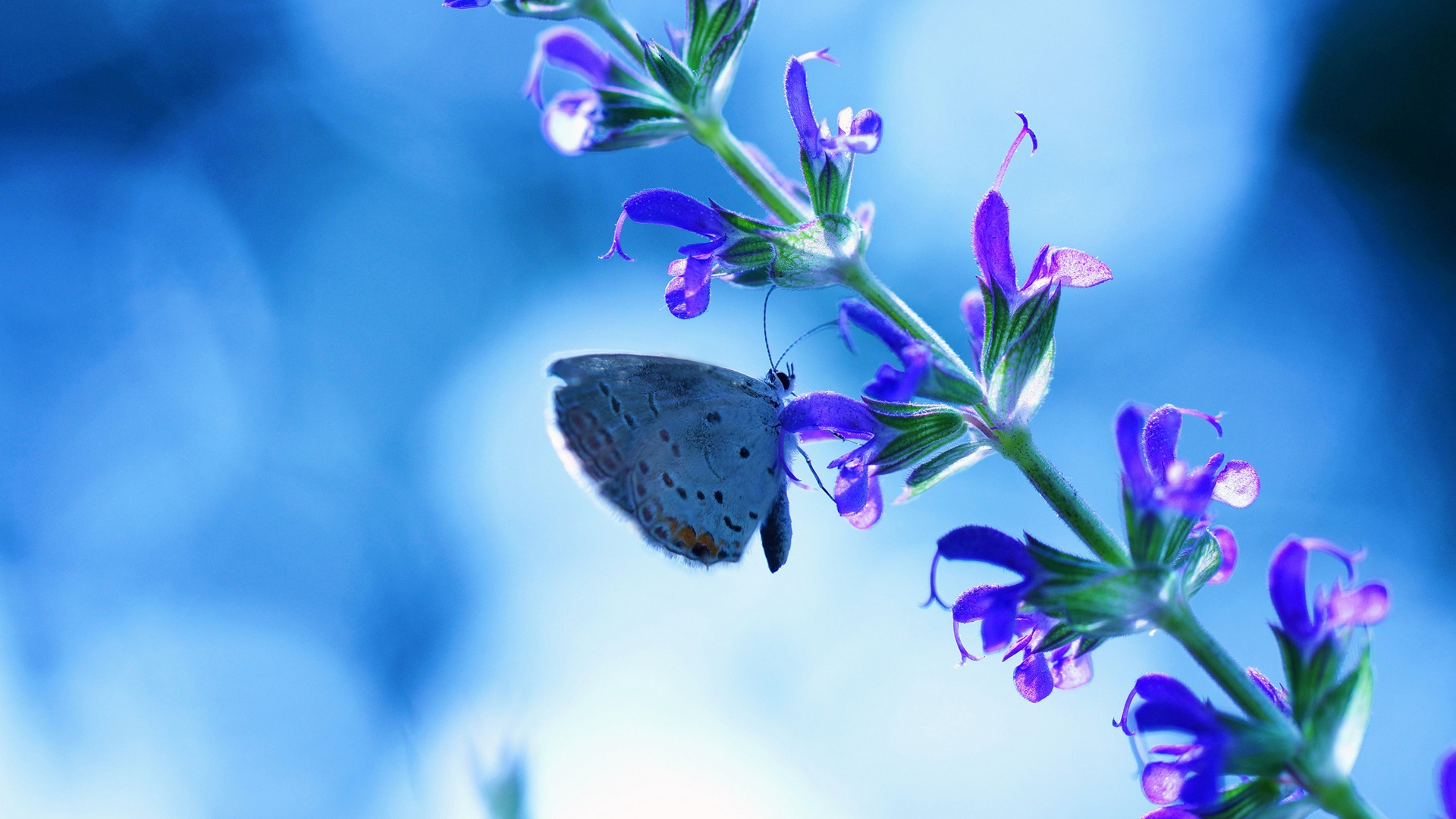 1920x1080 Full HD Wallpaper Flower With Butterfly, Blue Glare
