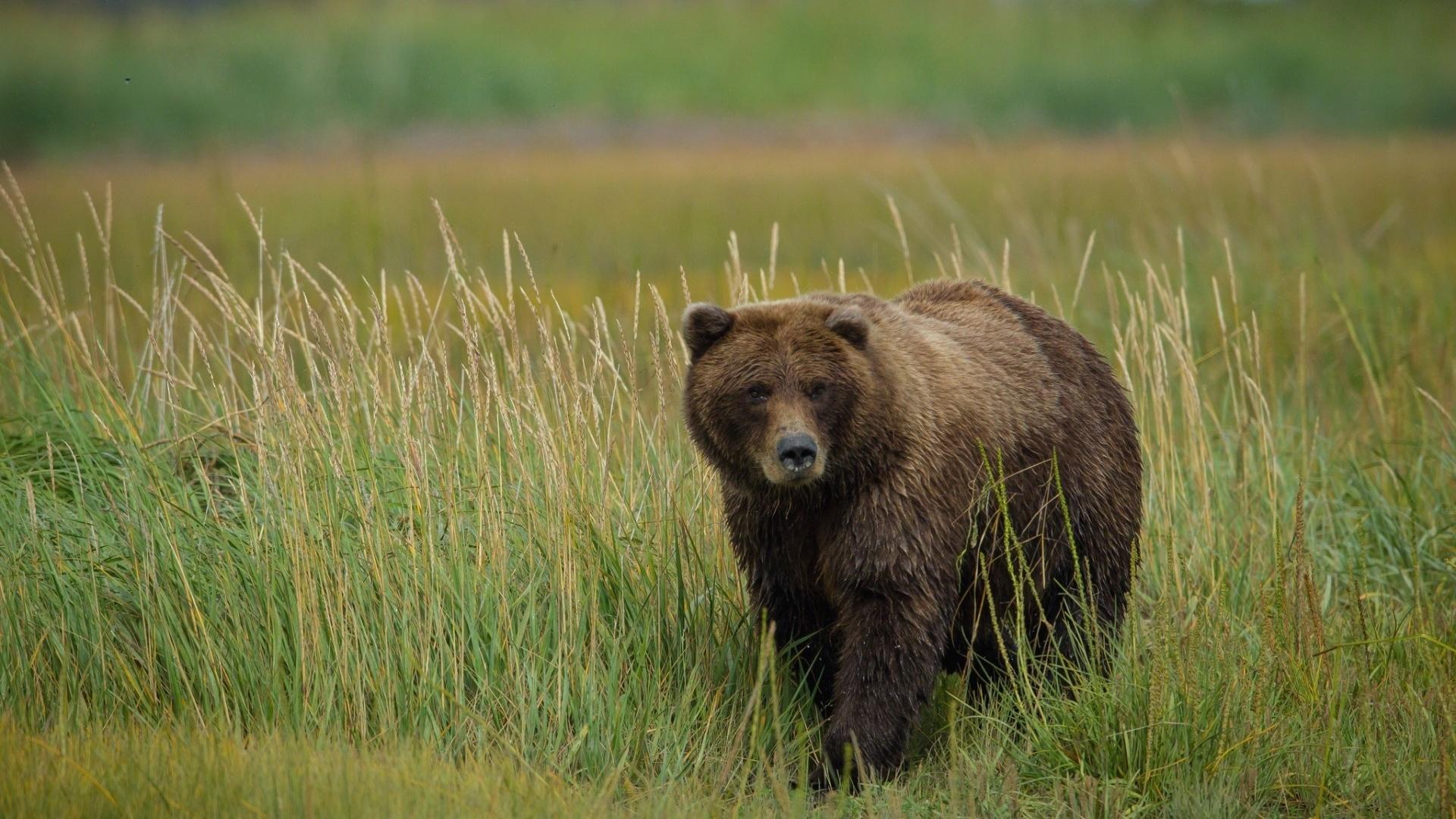 grizzly b r im gras 1920x1200 hd hintergrundbilder hd bild. Black Bedroom Furniture Sets. Home Design Ideas