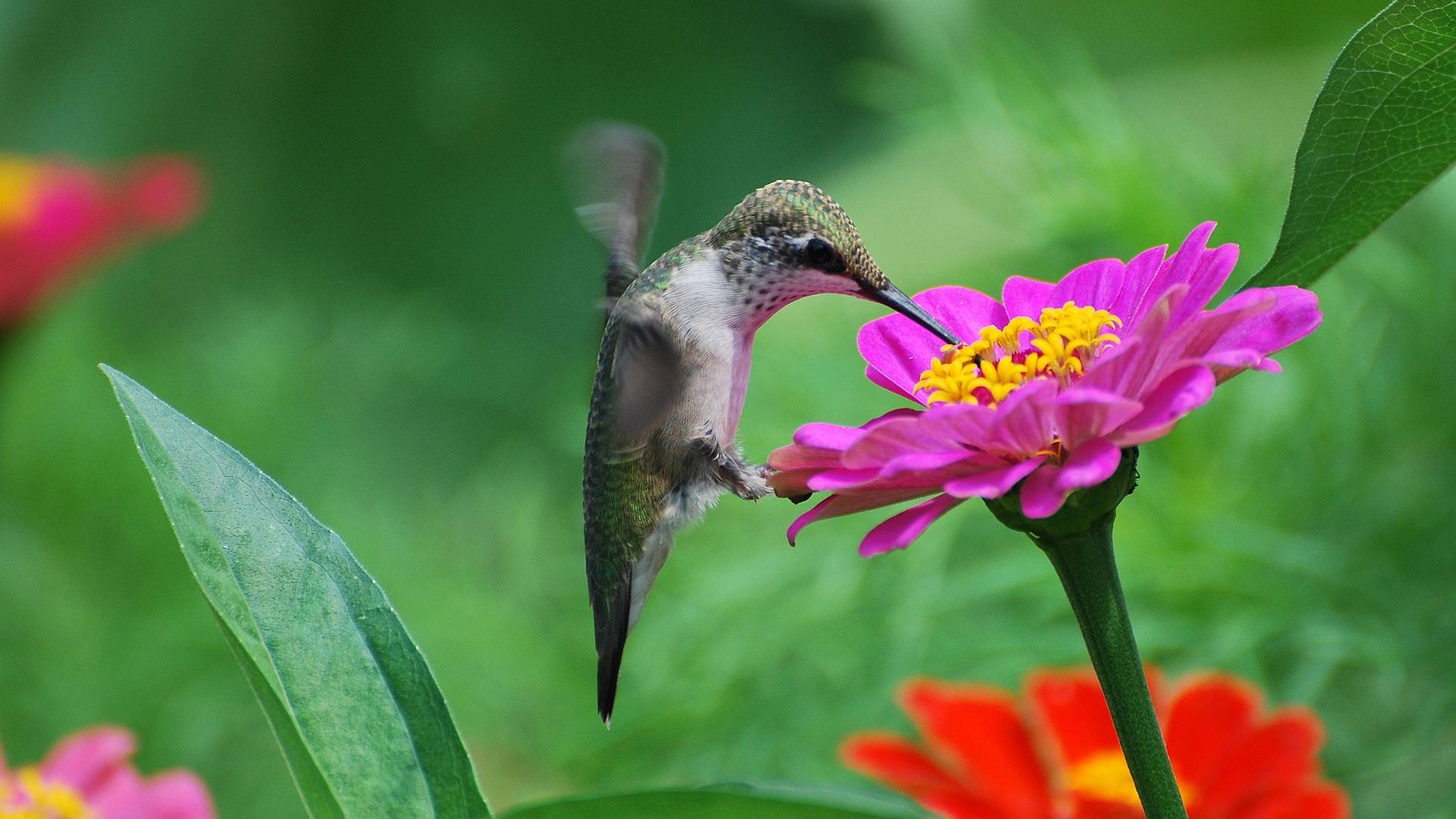 hummingbird pink flower nectar 1920x1080 jpg 1920 1080 beija