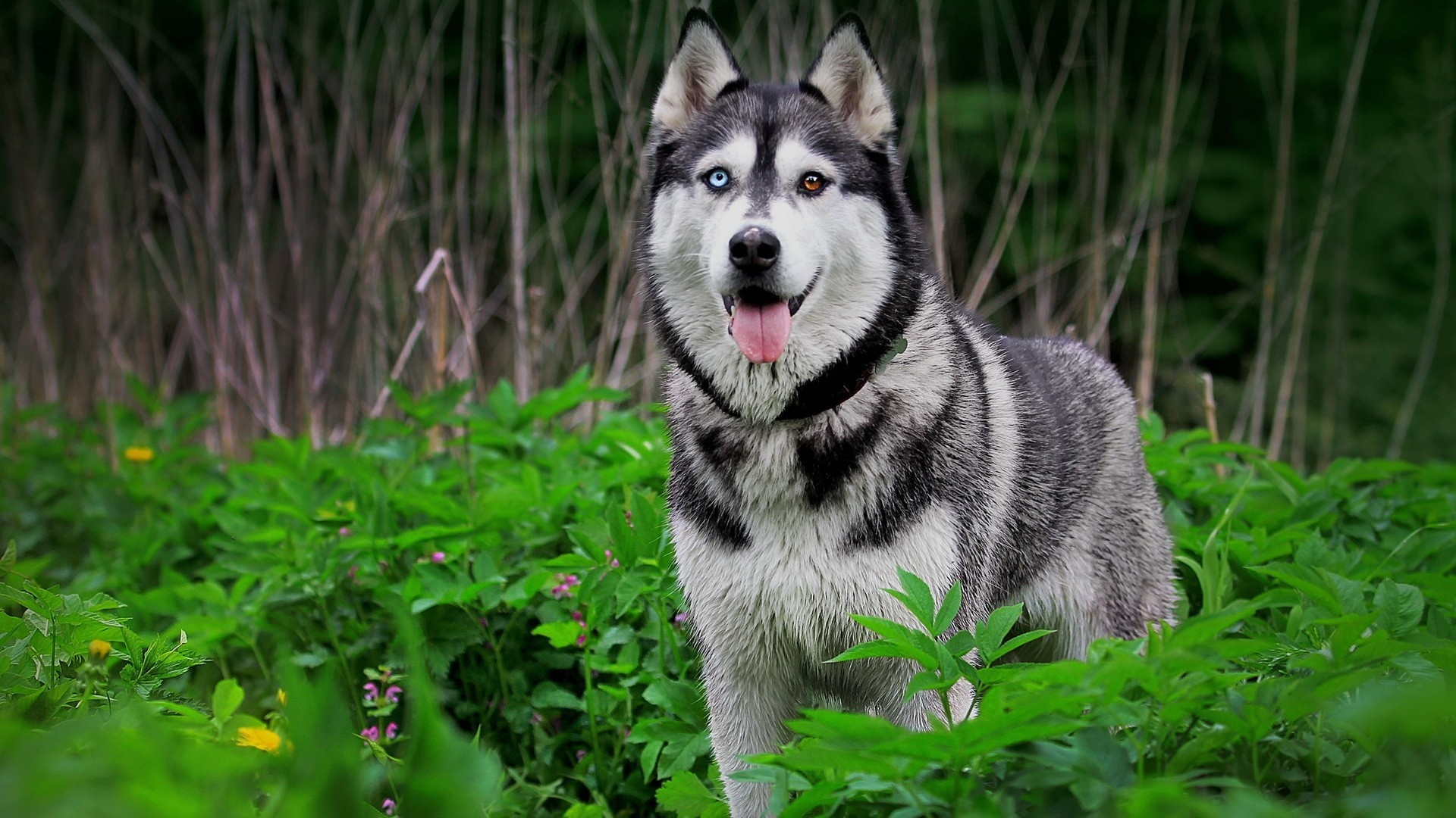 1080 Huky Puppies: Fonds D'écran Chien Husky, Nature, Animaux 1920x1080 Full