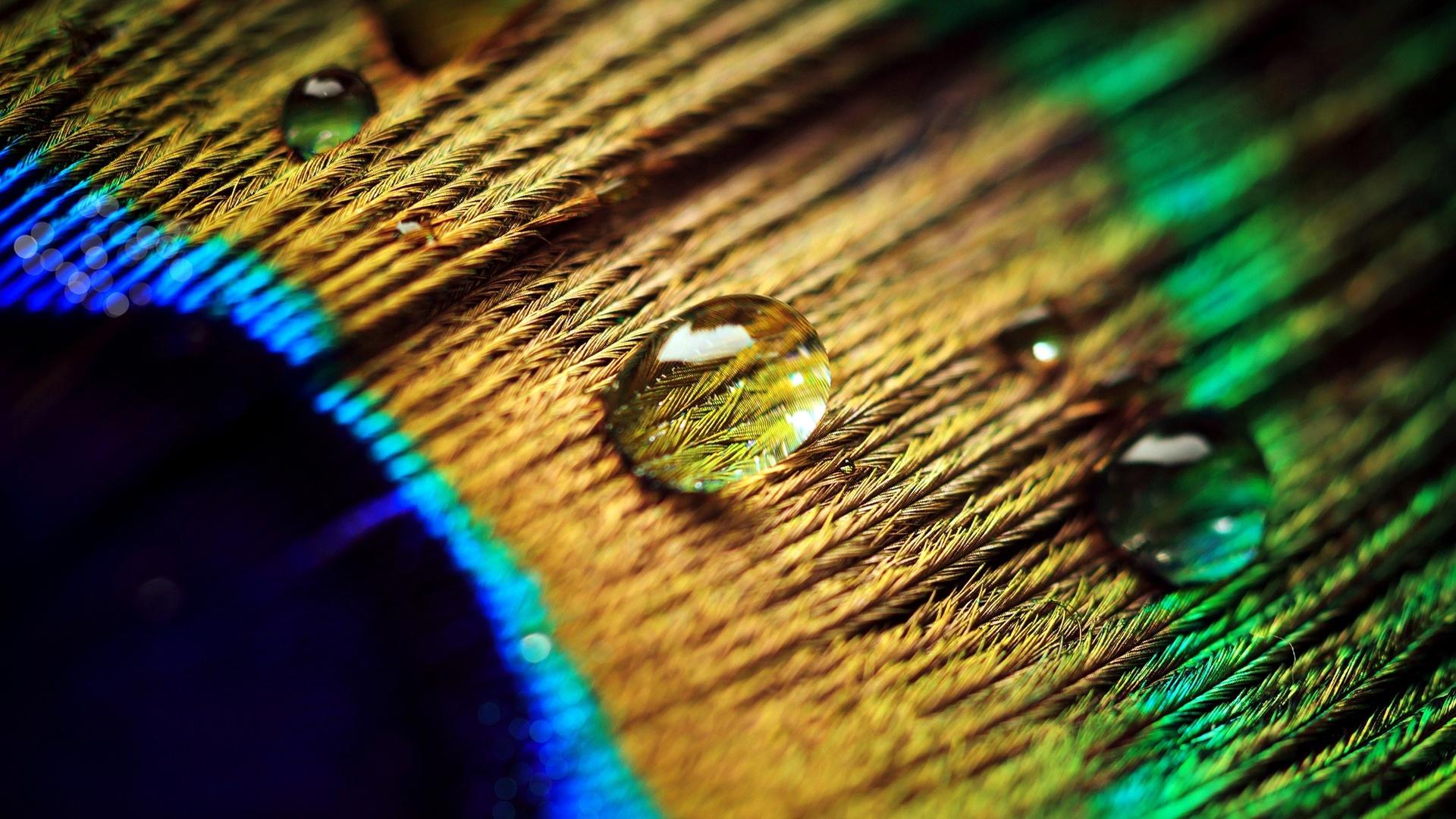 壁紙 孔雀の羽、水滴、マクロ撮影 1920x1200 HD 無料のデスクトップの背景, 画像