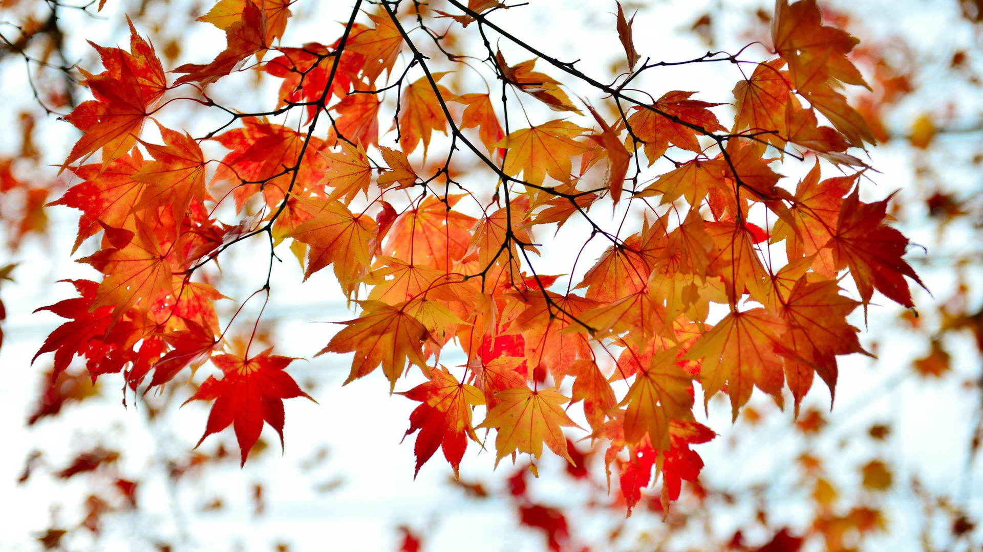 Wallpaper Autumn Branch Red Maple Leaves 1920x1200 Hd