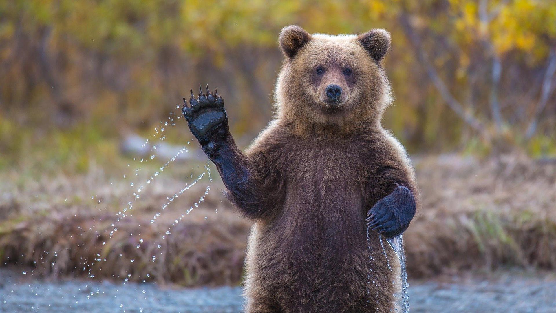 片手を上げる熊