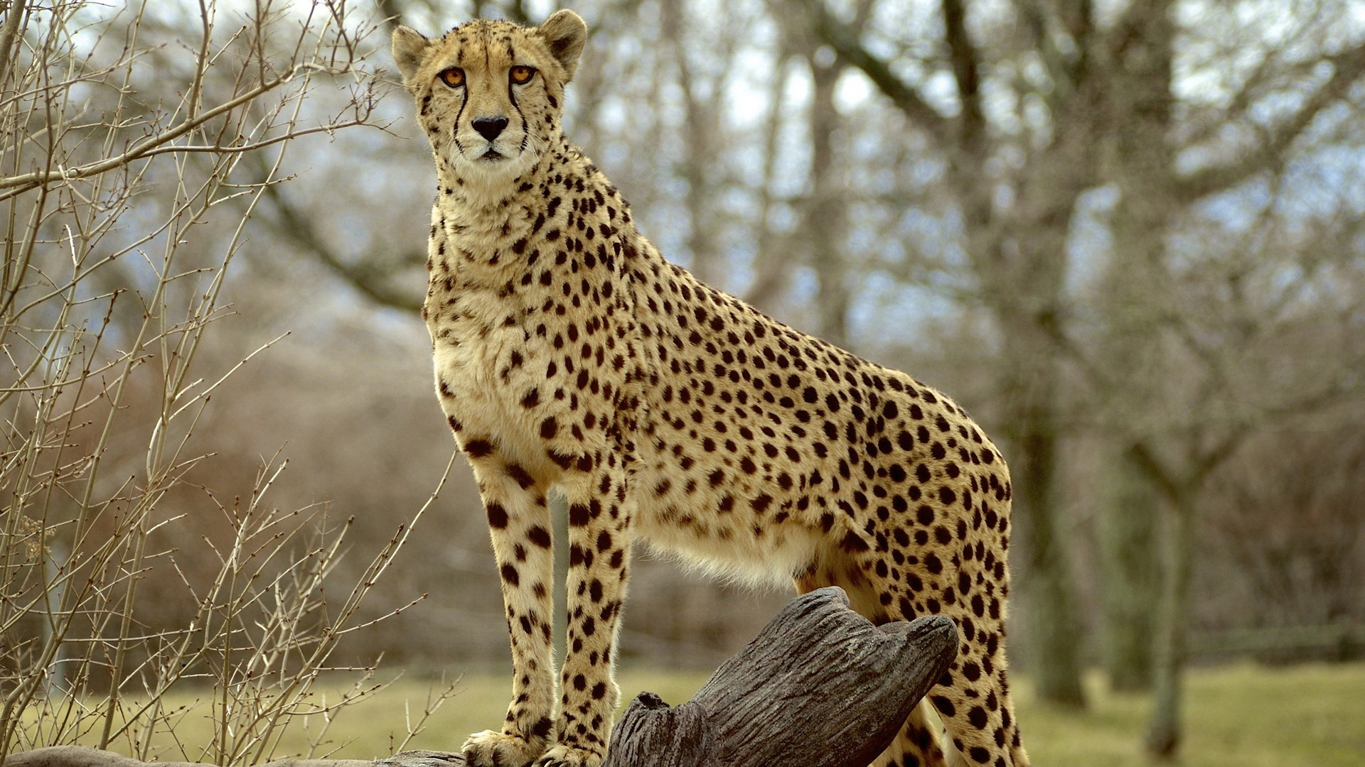 Wallpaper Animal Photography Cheetah Predator 1920x1200 HD Picture