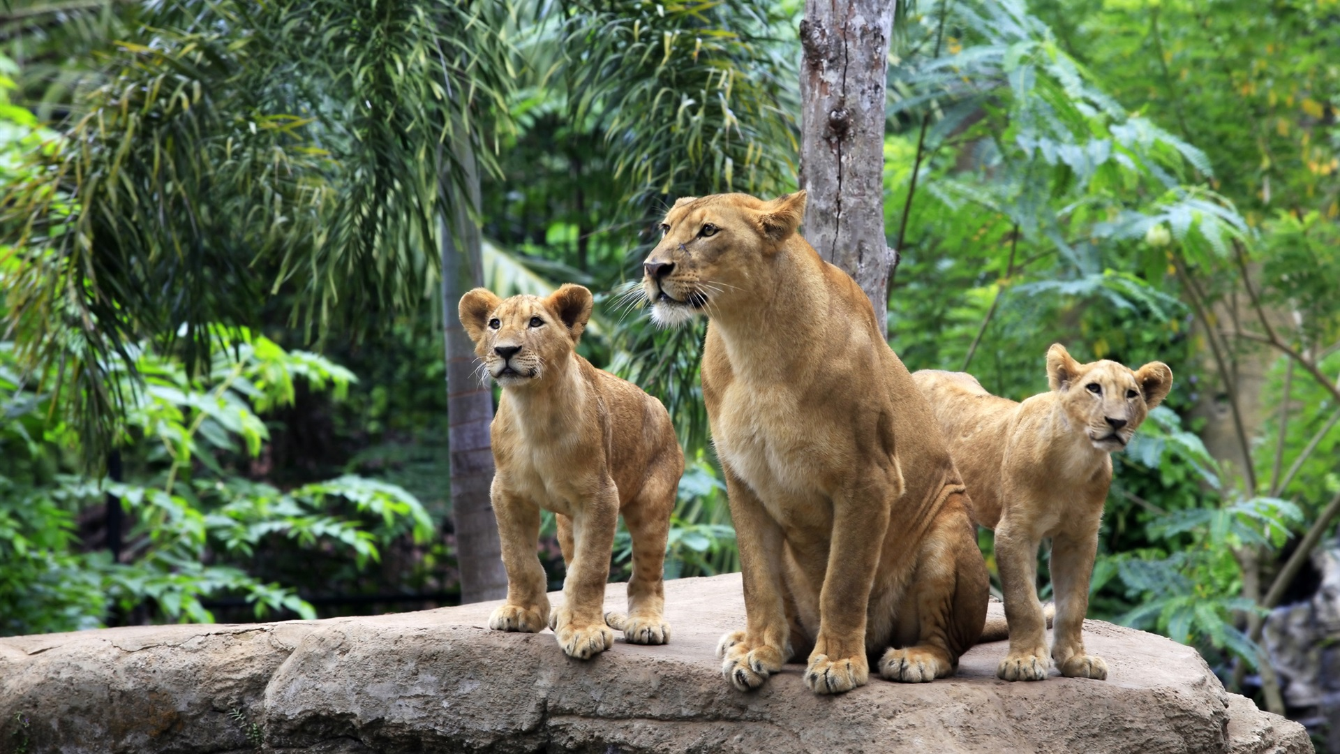 Lion family wallpaper - photo#38