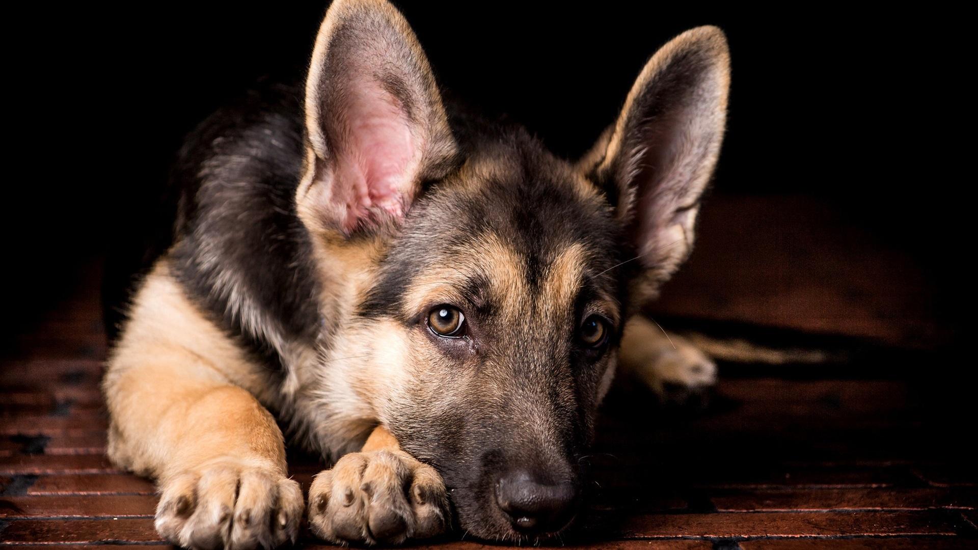 壁纸 孤独的狗,牧羊犬,脸特写 1920x1200 HD 高清壁纸, 图片, 照片