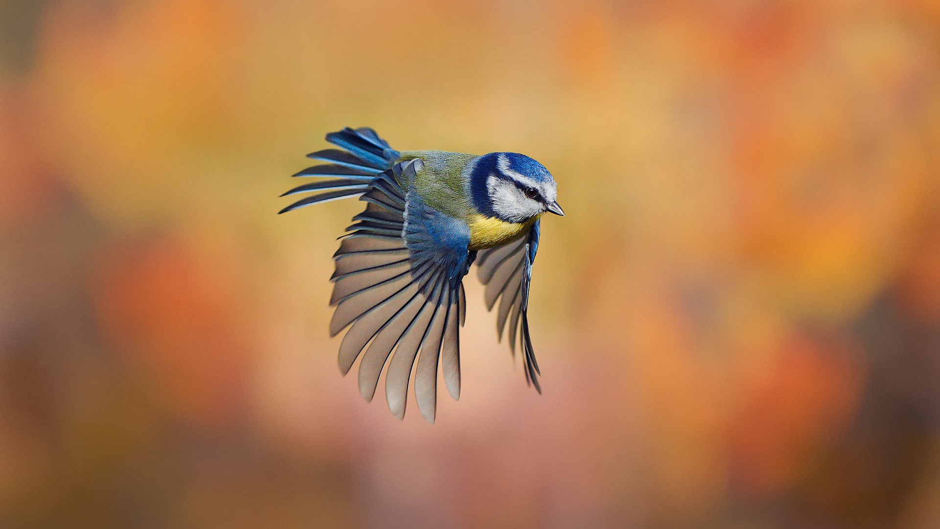 bird close up chickadee flying blur background wallpaper