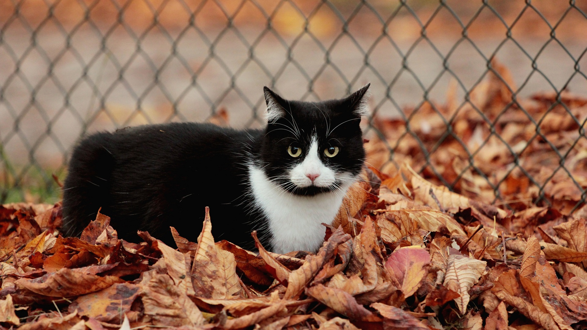 Fence-leaves-autumn-black-and-white-cat_1920x1080.jpg: ja.best-wallpaper.net/Fence-leaves-autumn-black-and-white-cat...