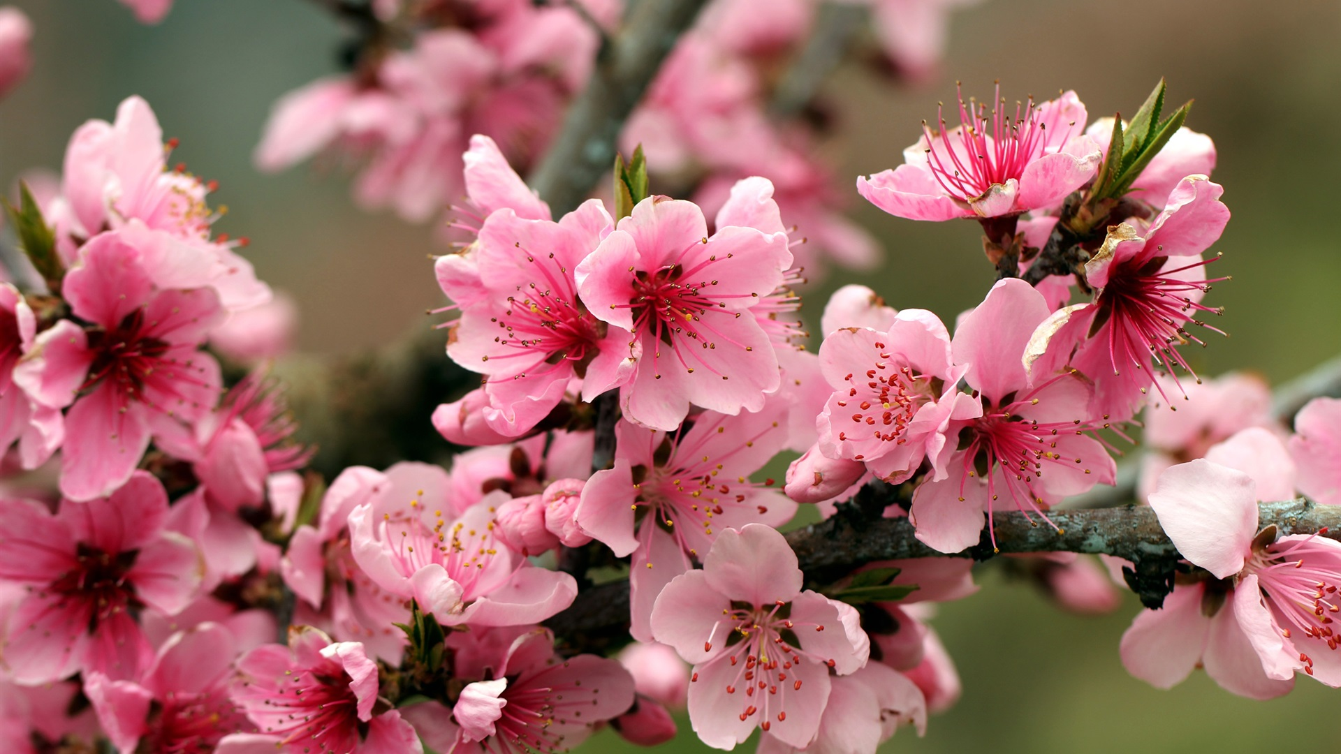Spring apple tree pink flowers blossoms Wallpaper