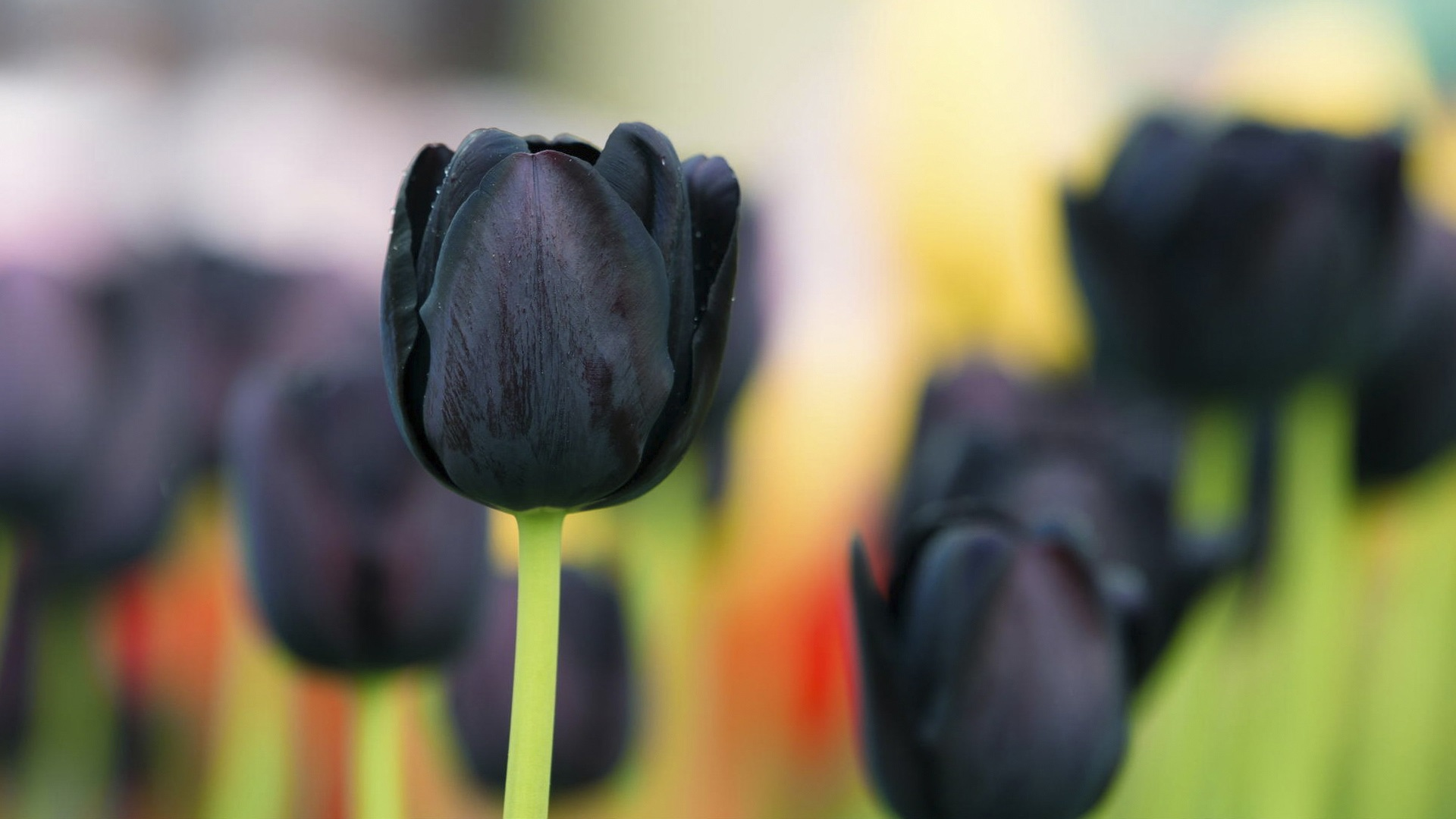 wallpaper black tulip flowers 1920x1080 full hd 2k picture image