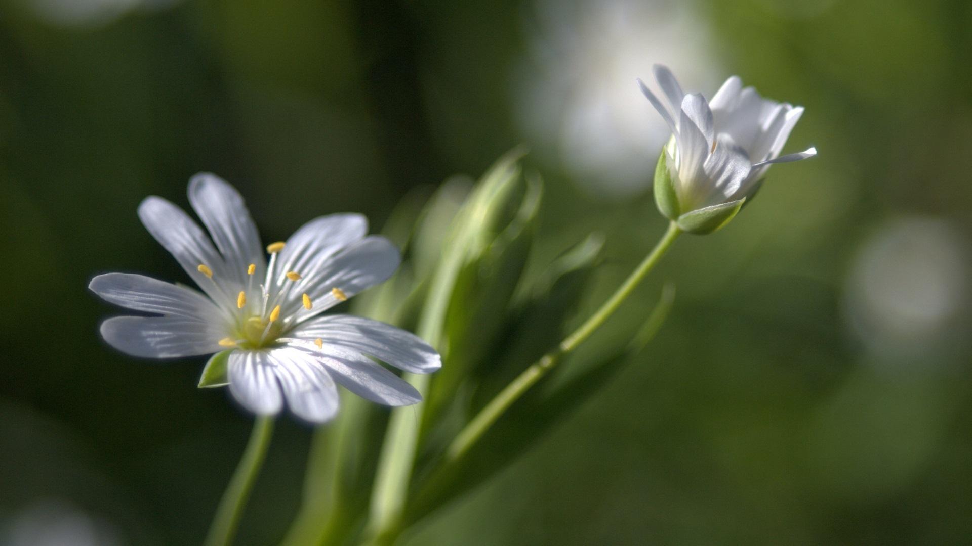 white flower wallpaper 1920x1080 - photo #27