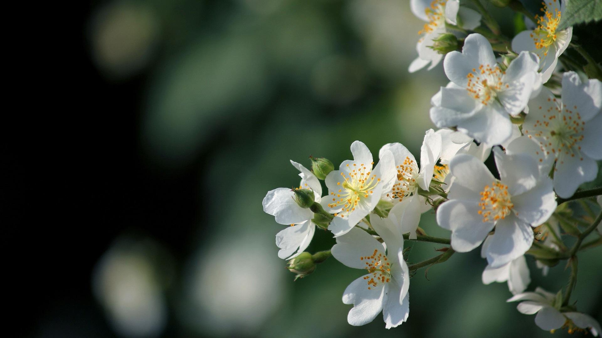 bloomed white roses wallpaper-#31