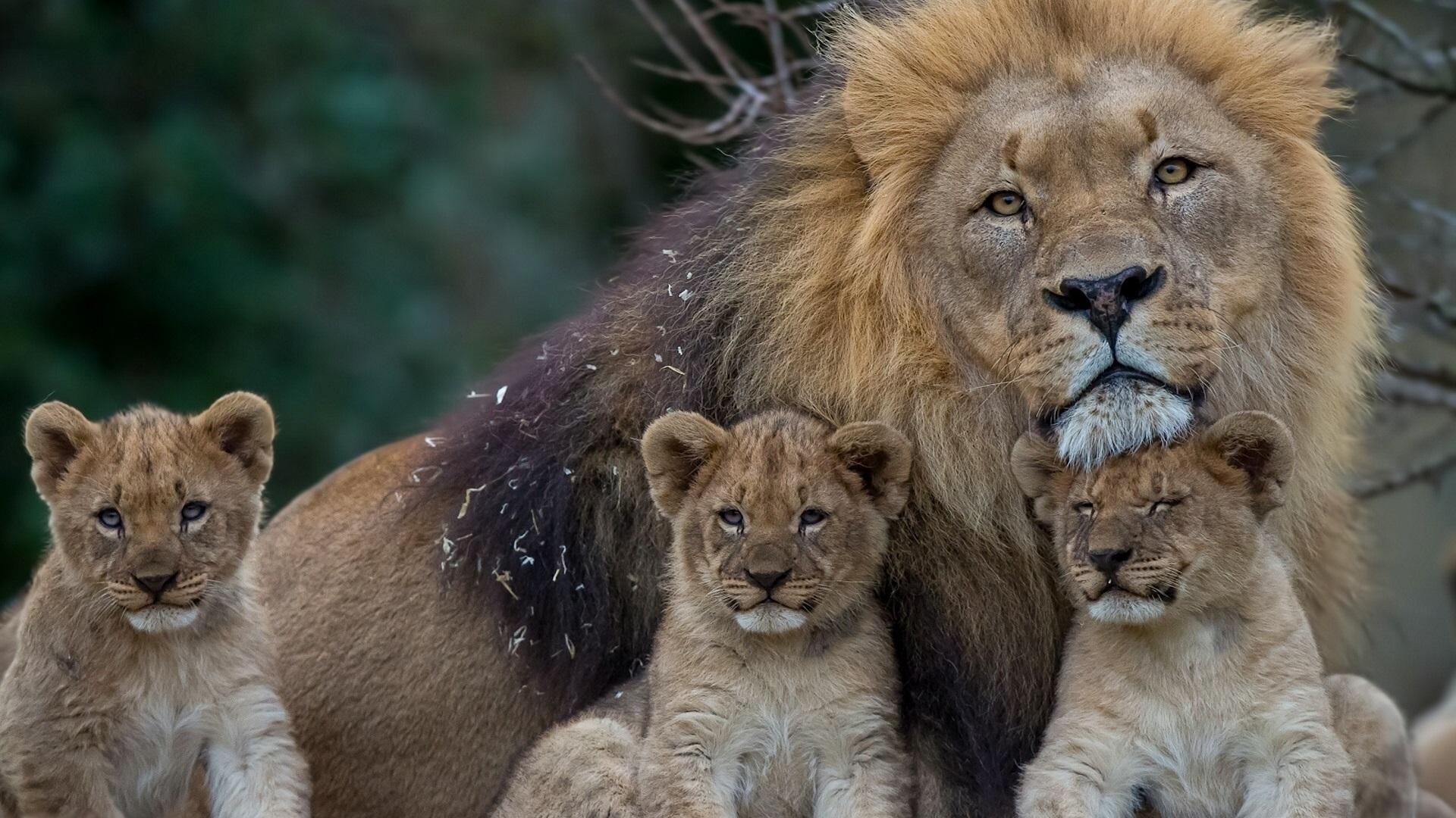 ライオンの画像 p1_15