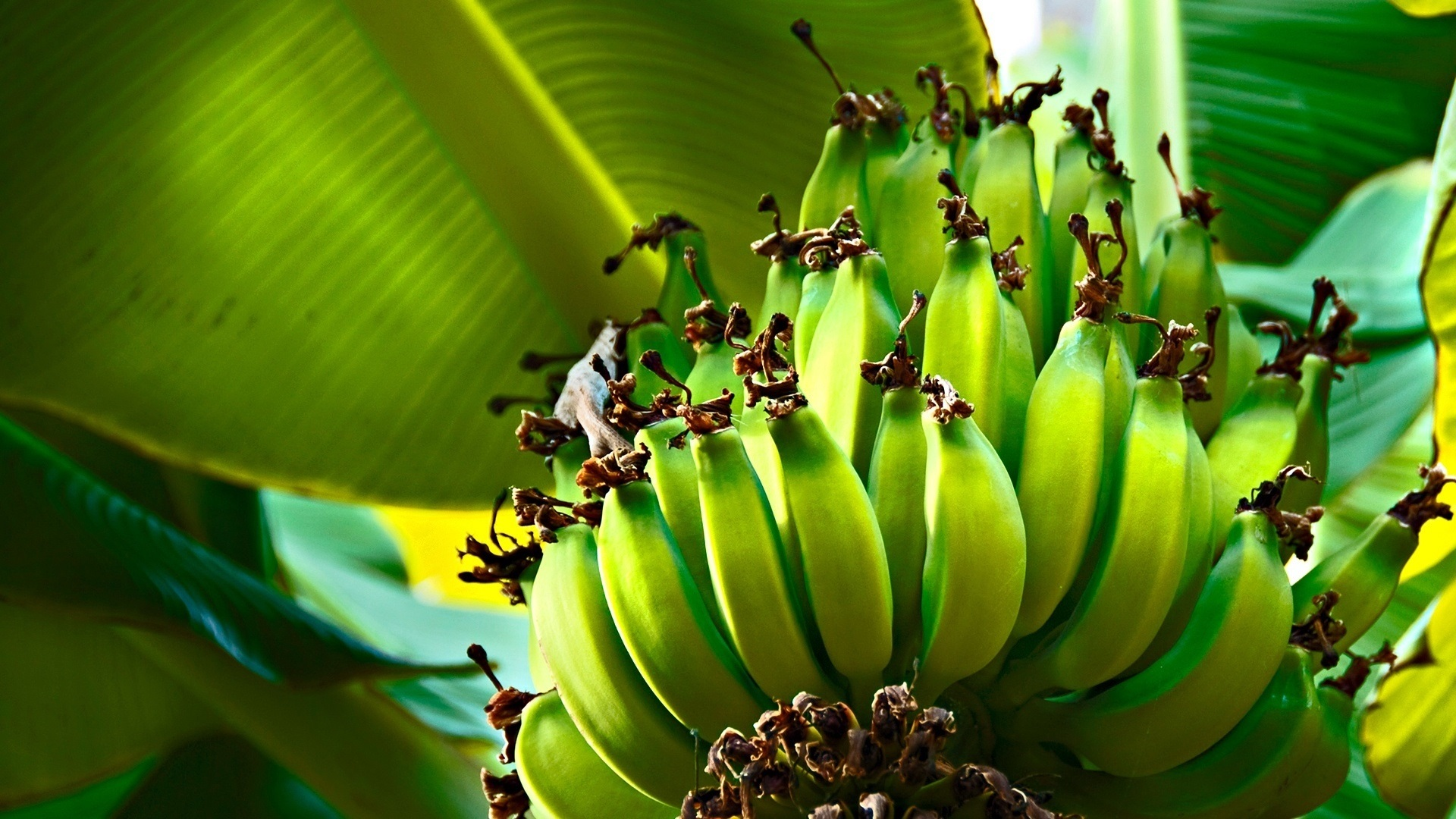 绿色的香蕉,大蕉,树叶,树 壁纸图片