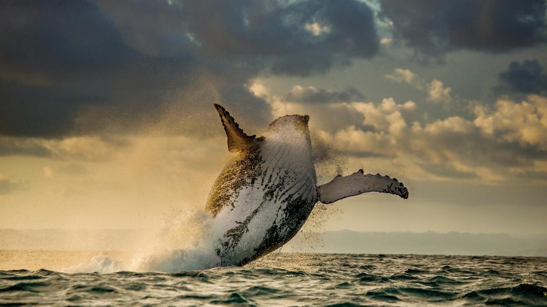16 Luxury Pubg Wallpaper Iphone 6: 壁纸 海洋,鲸鱼,跳跃 1920x1080 Full HD 2K 高清壁纸, 图片, 照片