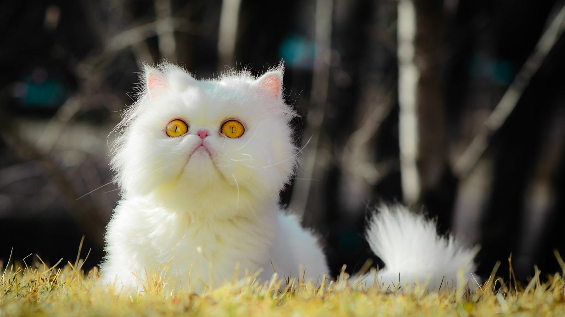 白色的毛茸茸的猫,黄色的眼睛,草 壁纸 - 1920x1080