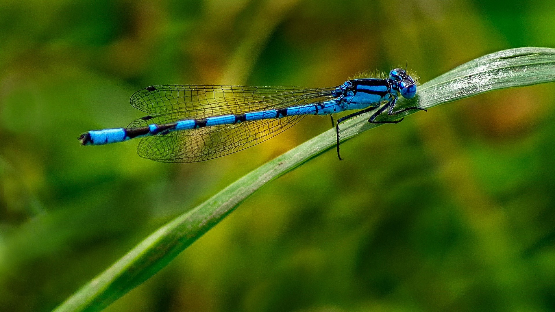 Eyes Of A Dragonfly Nature Dew Cute Macro Hd Wallpaper: Wallpaper Blue Dragonfly, Insect, Leaf 1920x1080 Full HD