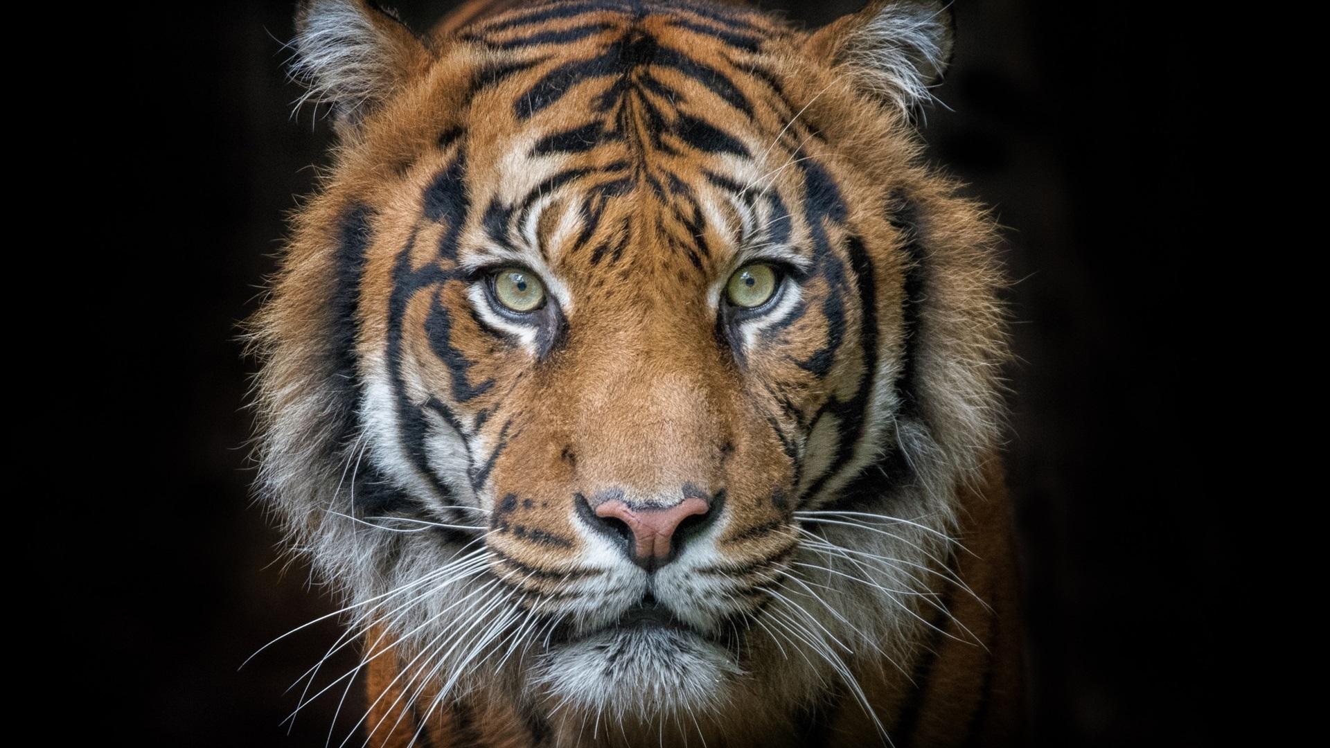 black tiger machine destroy it