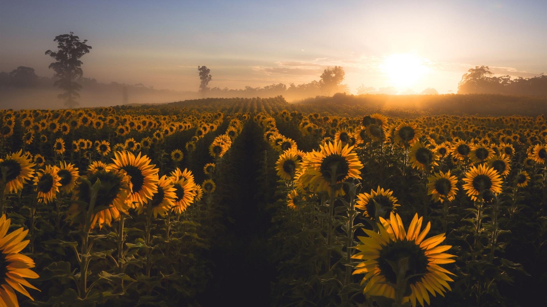 download wallpaper 1920x1080 sunflowers morning fog