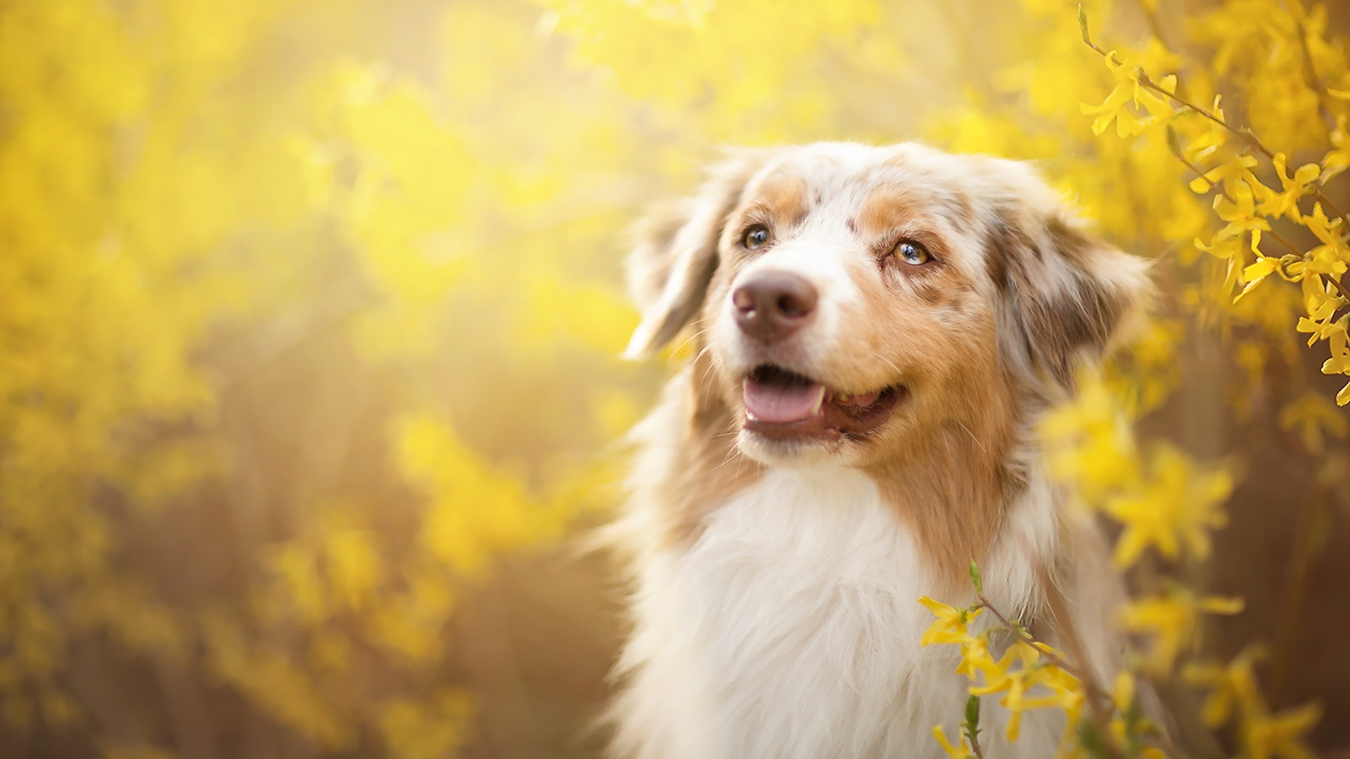 wallpaper dog, yellow flowers, spring 1920x1080 full hd picture, image