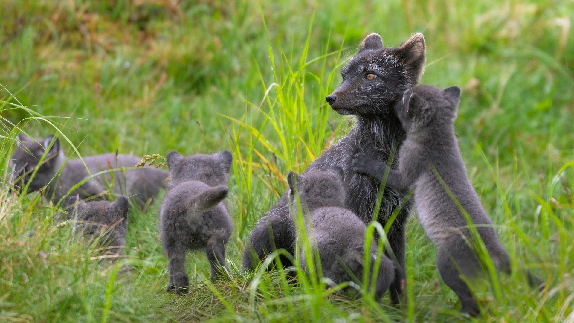 Wallpaper Finland Black Arctic Fox Family Summer Grass 1920x1200 Hd Picture Image